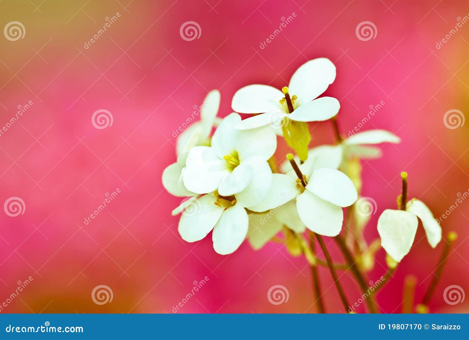 цветет белизна