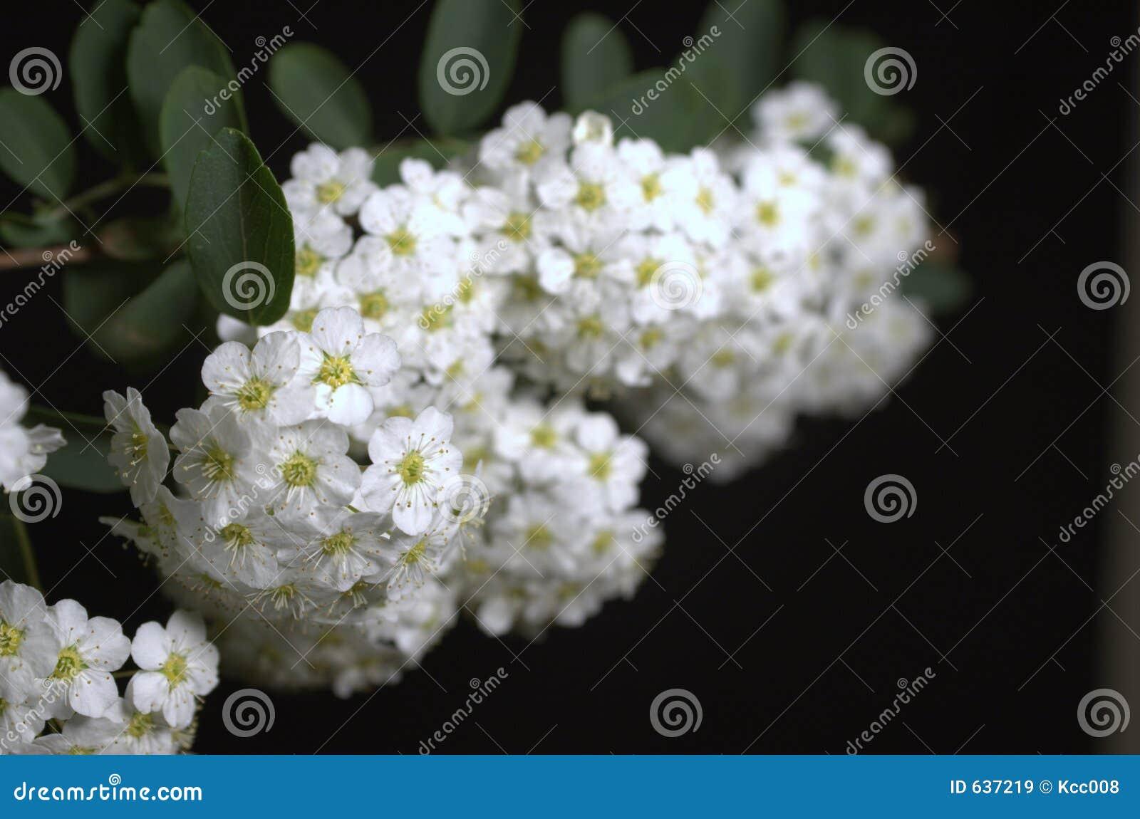 Download цветет белизна стоковое изображение. изображение насчитывающей листья - 637219