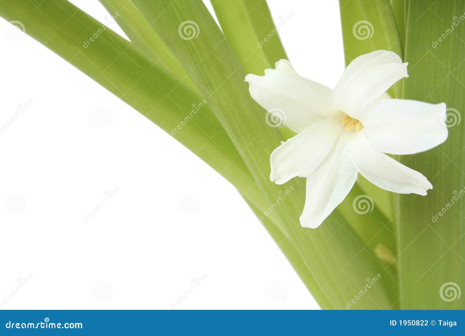 цветет гиацинт