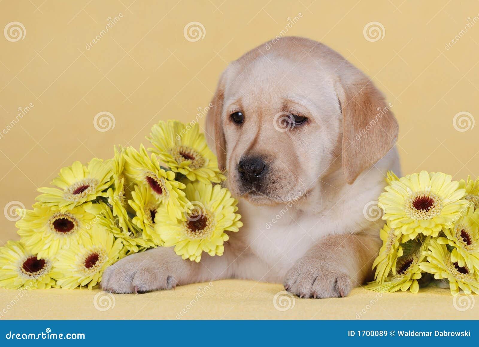 цветет желтый цвет щенка
