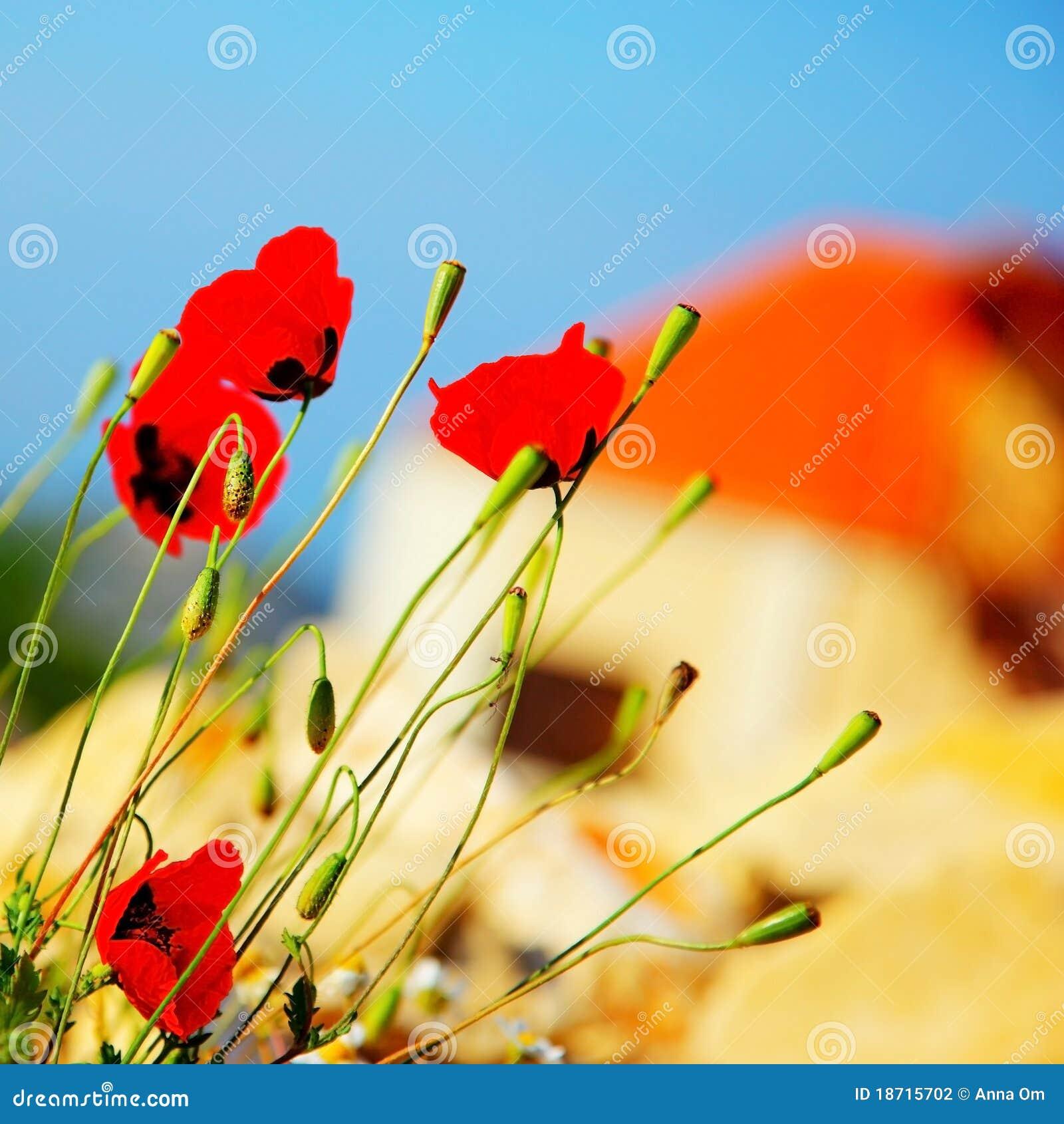 цветет мак лужка