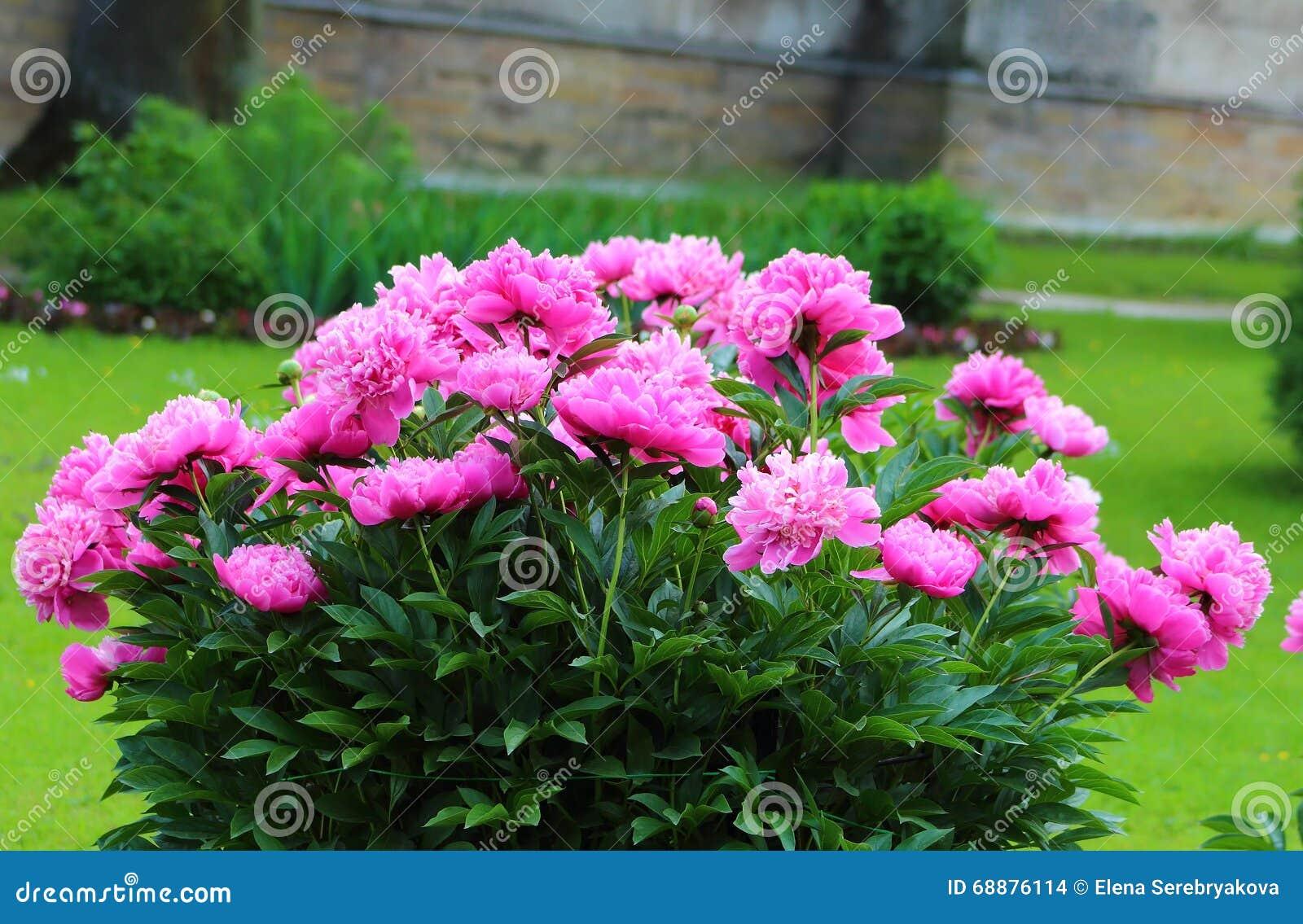 цветет пинк peony