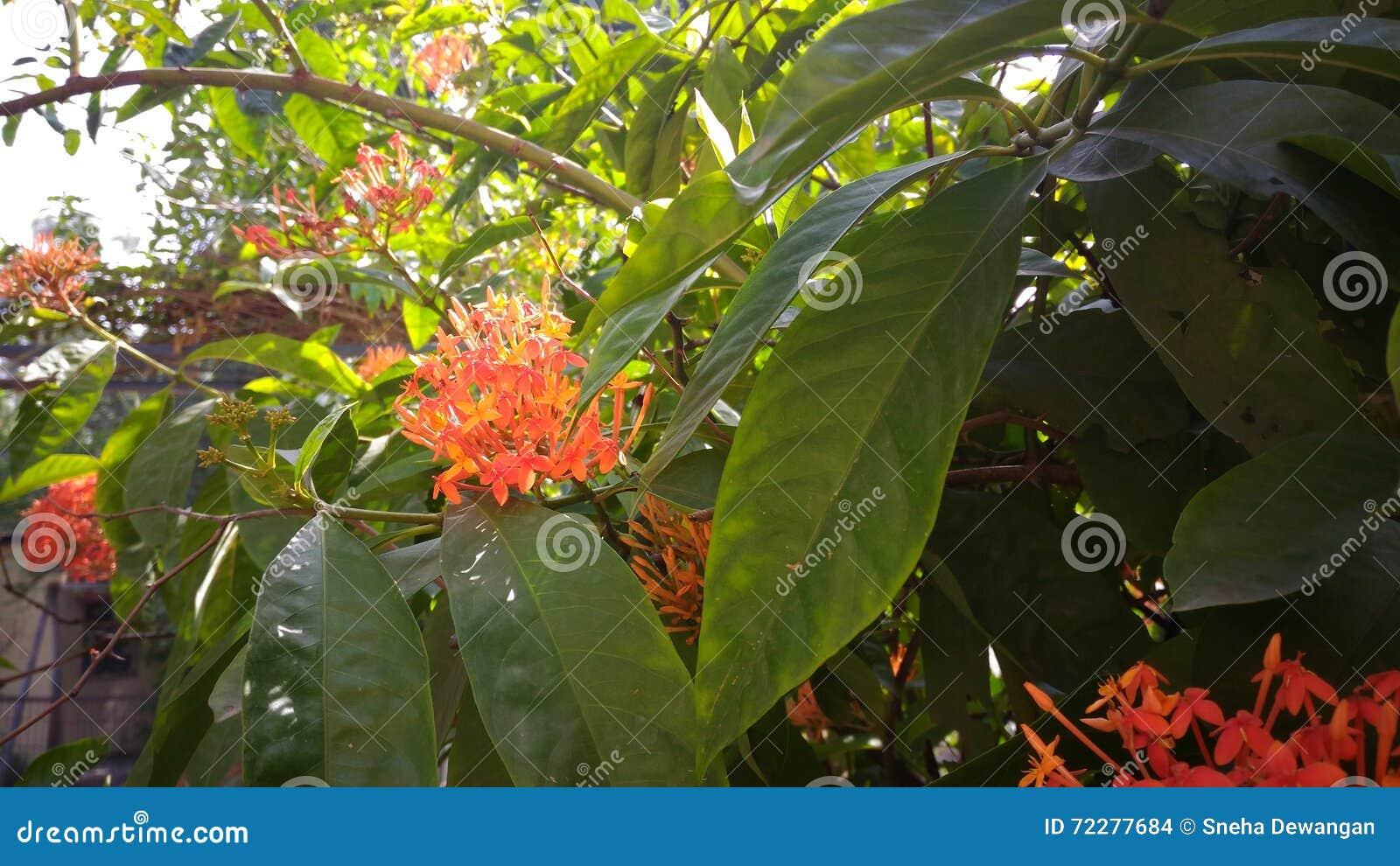 Download цветет помеец стоковое фото. изображение насчитывающей бобра - 72277684
