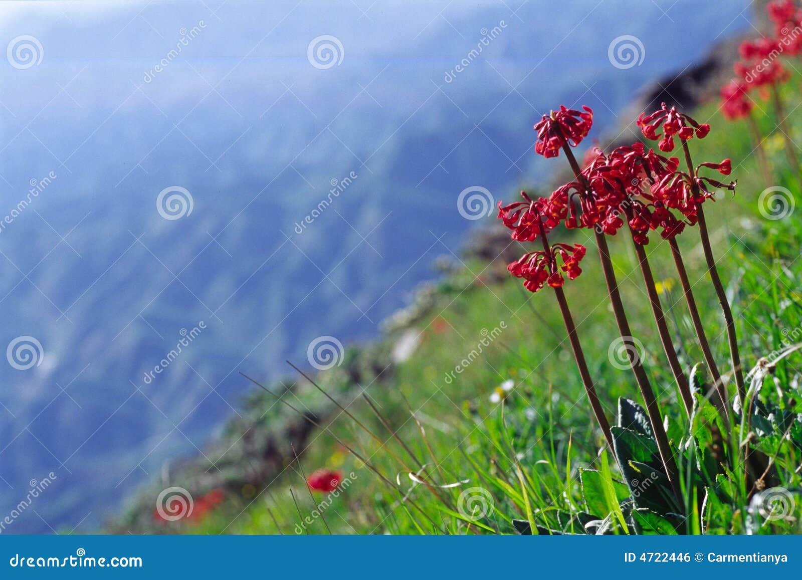 цветет румян