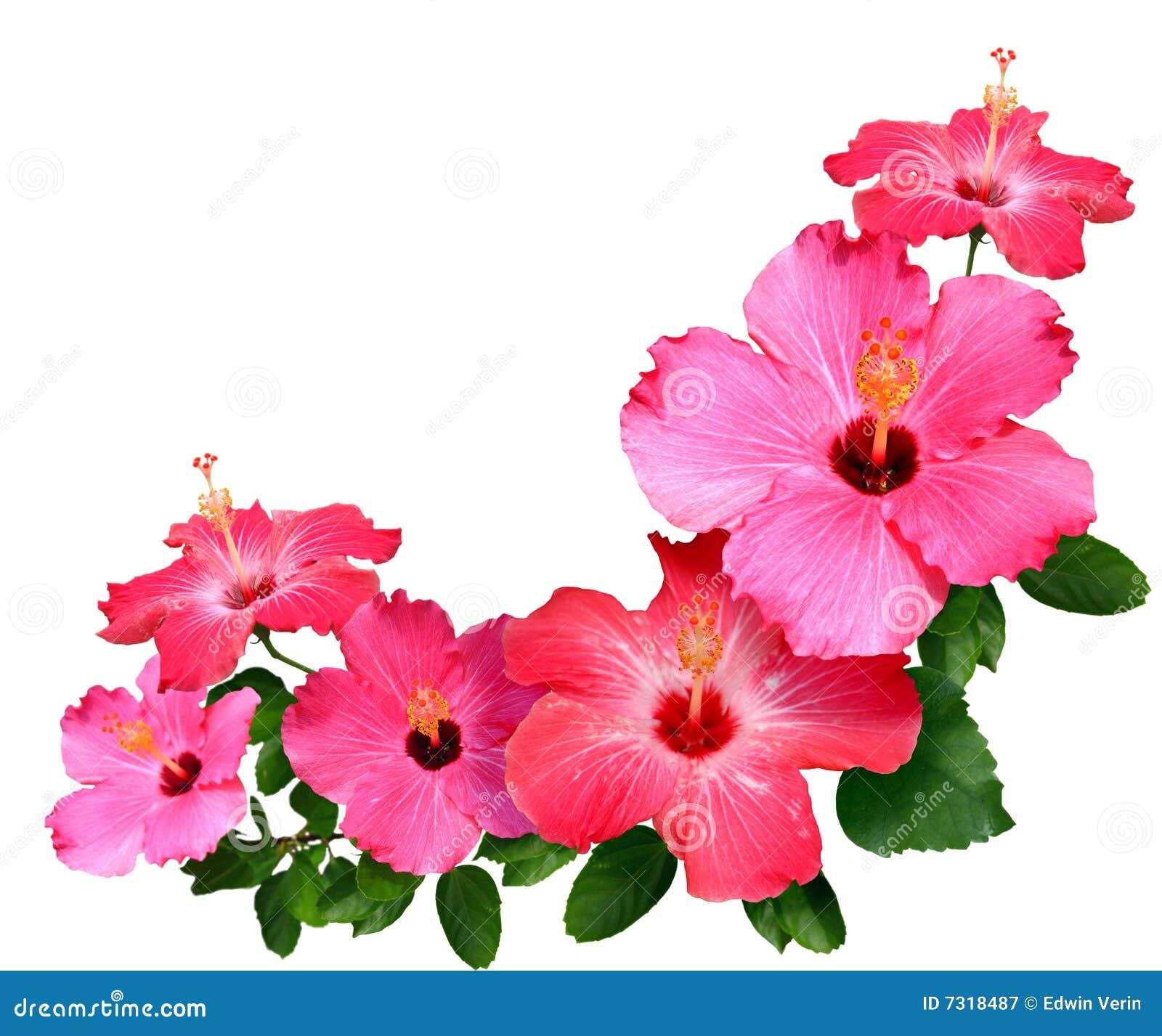 цветет hibiscus