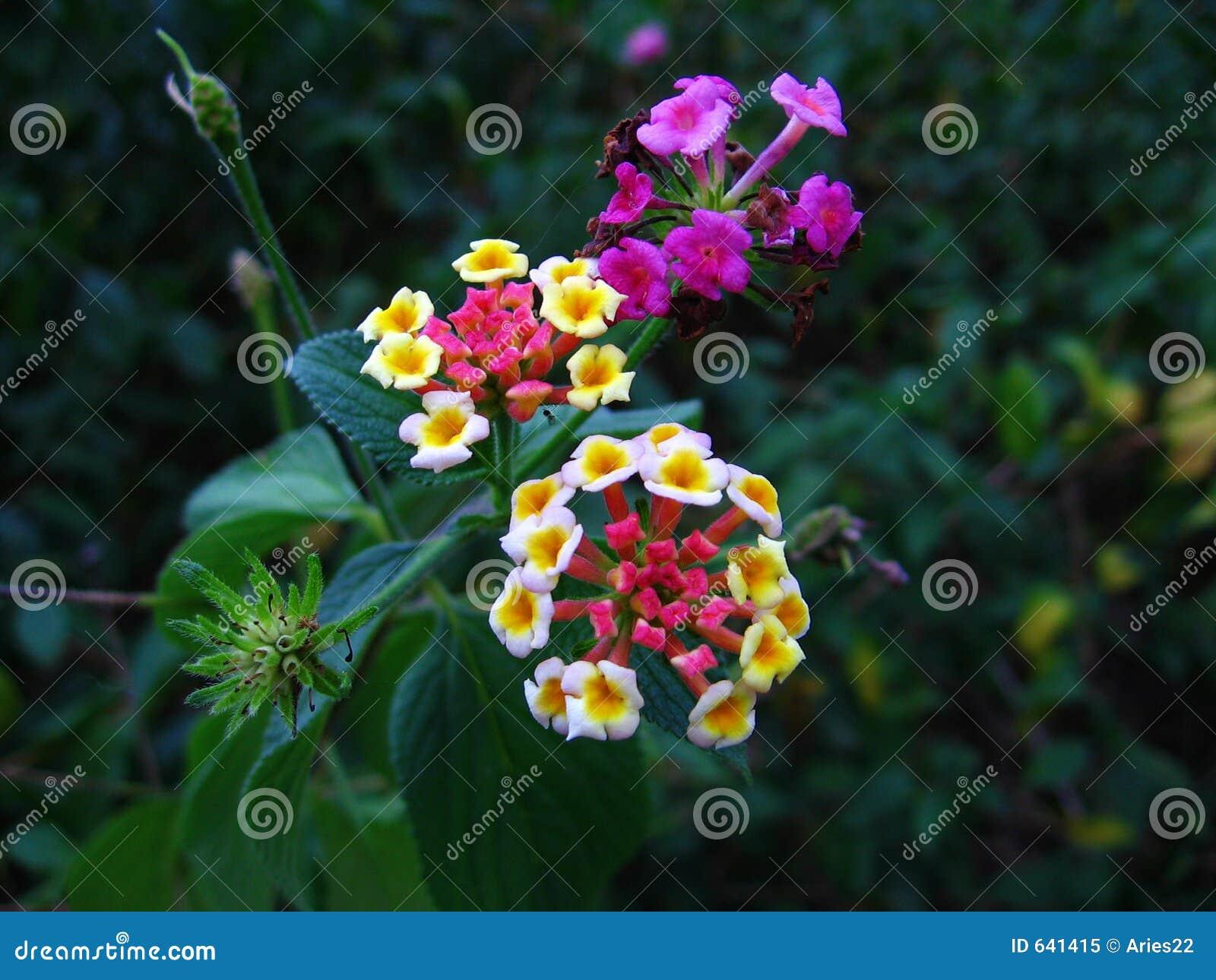 Download цветет lantana стоковое изображение. изображение насчитывающей противник - 641415