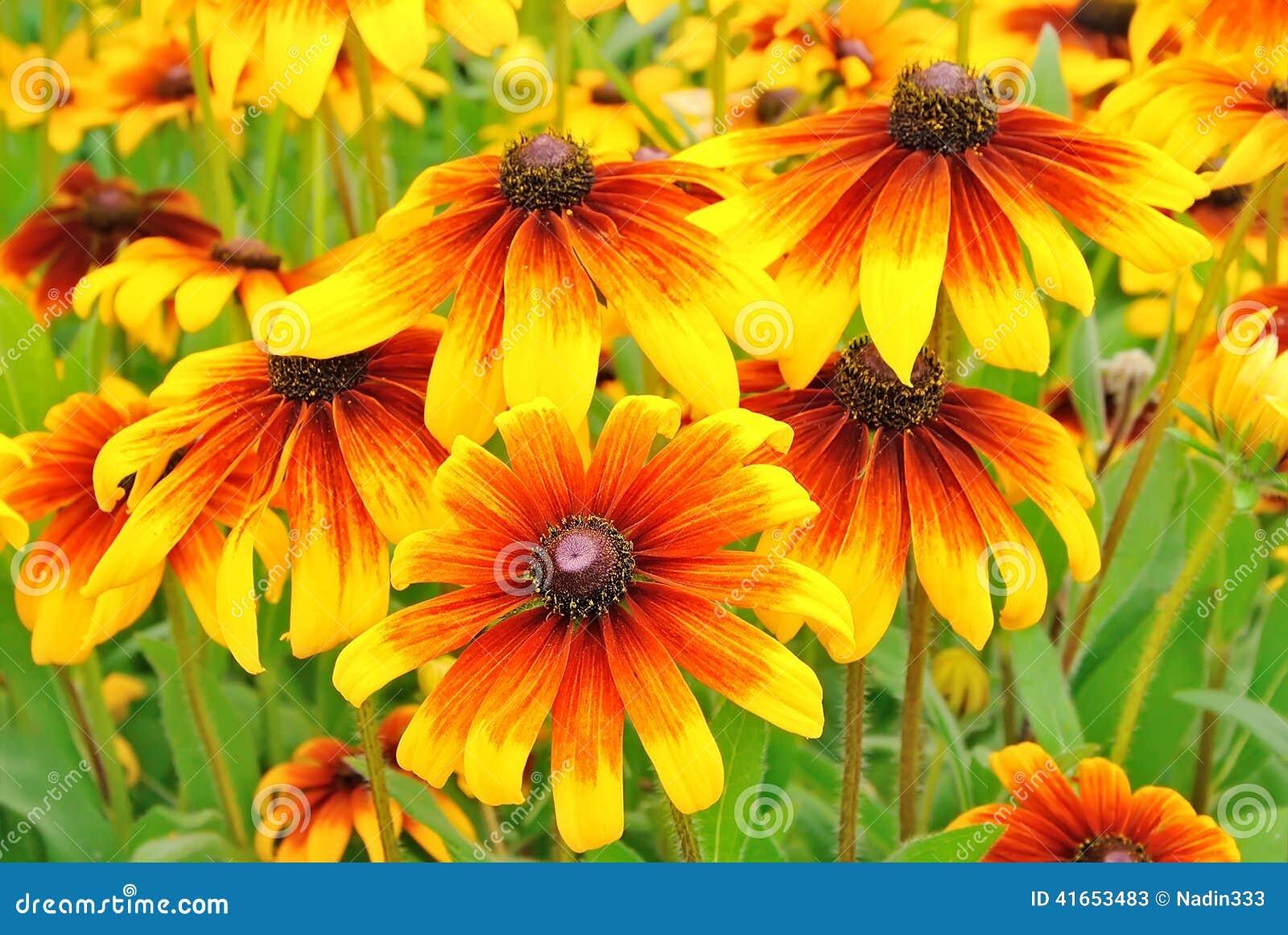 Цветет rudbeckia