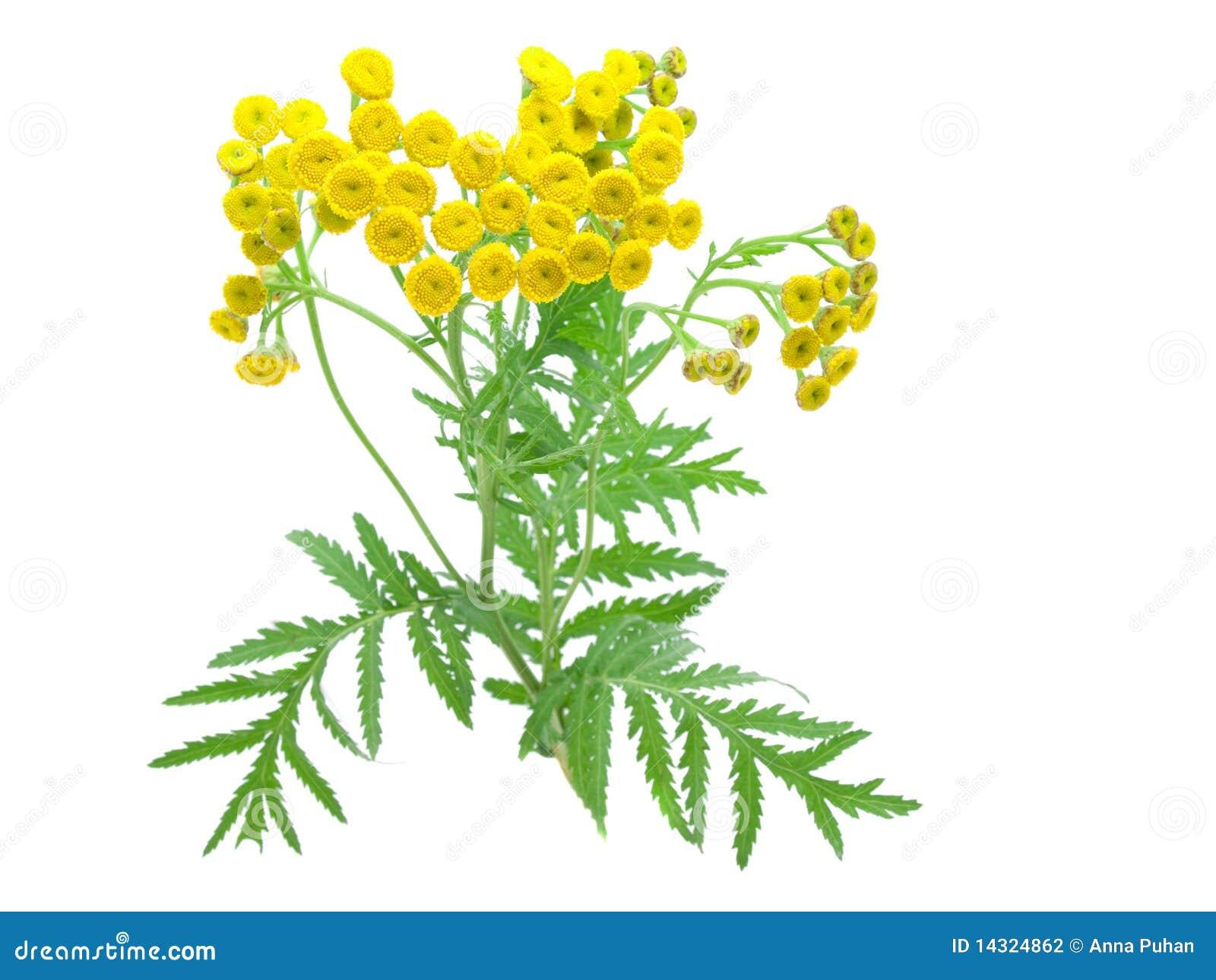 цветет tansy