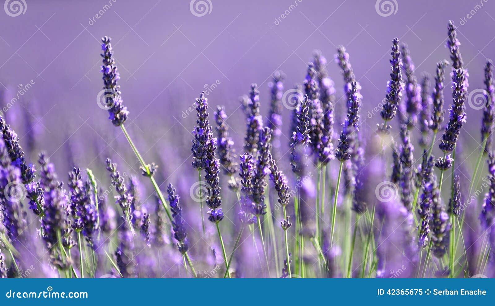 Цветки лаванды в цветени
