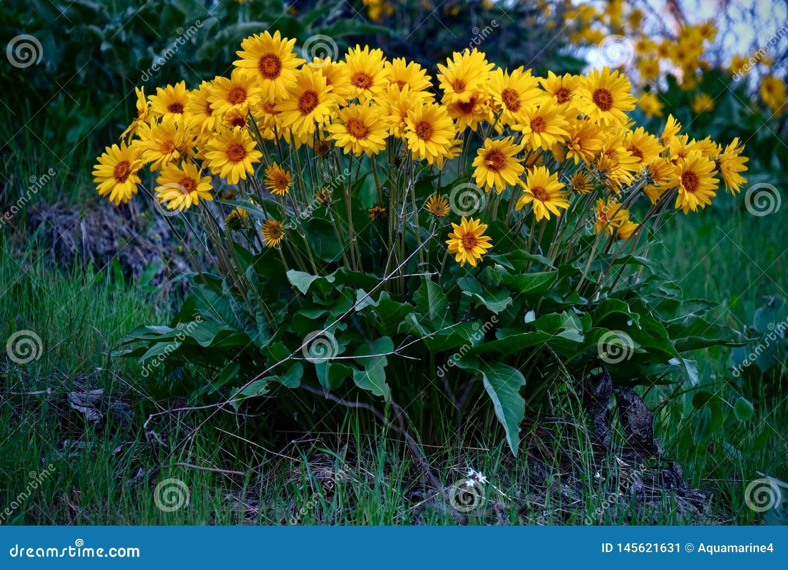 Цветки арники или Balsamroot полностью зацветают около Leavenworth
