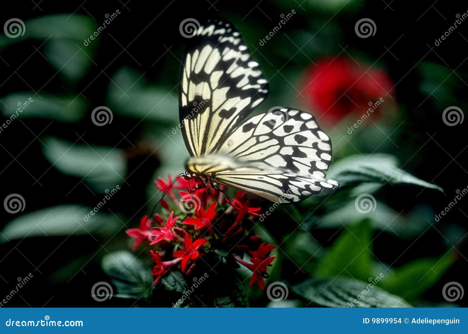 цветки бабочки красные