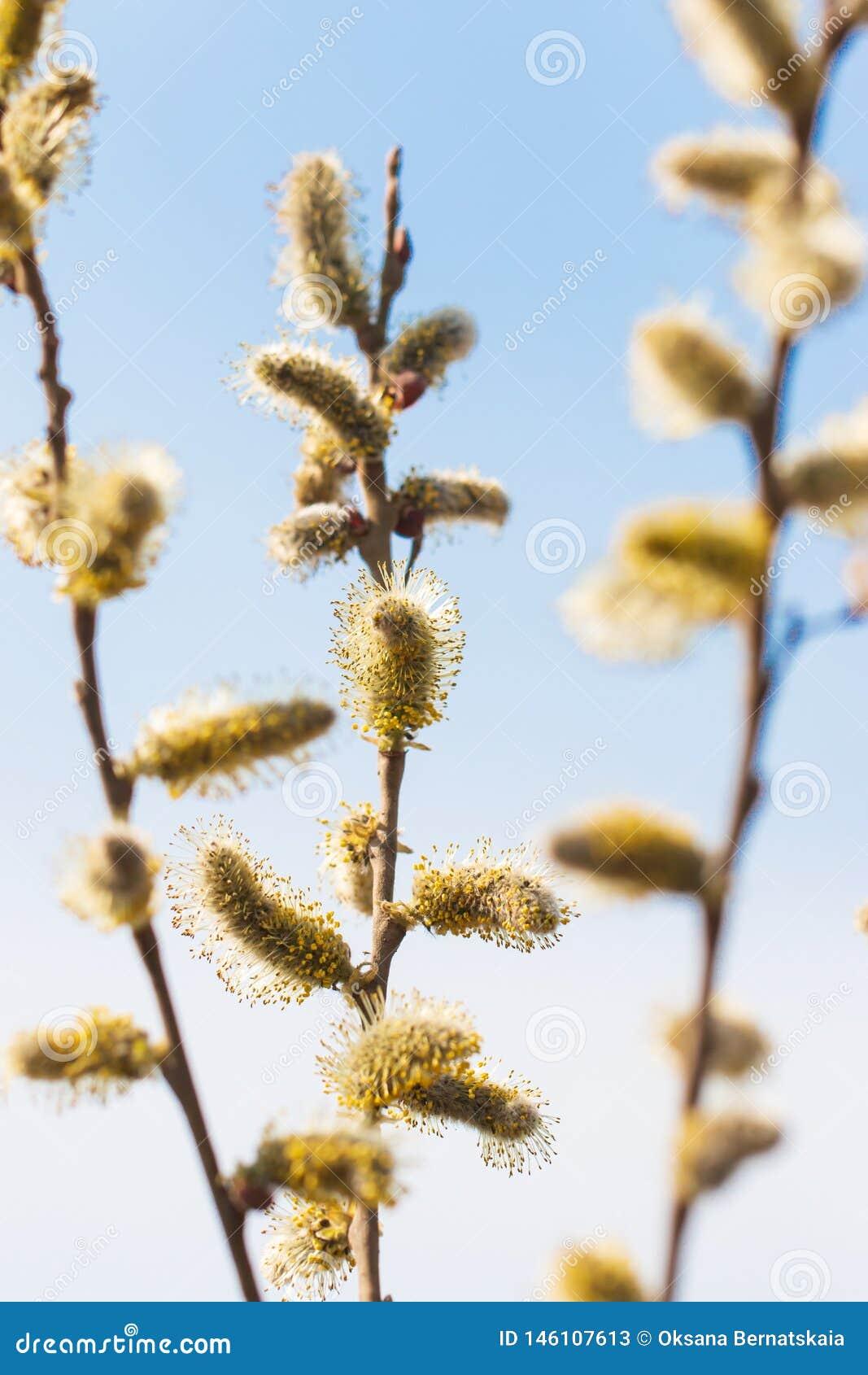 Цветки вербы на ветви