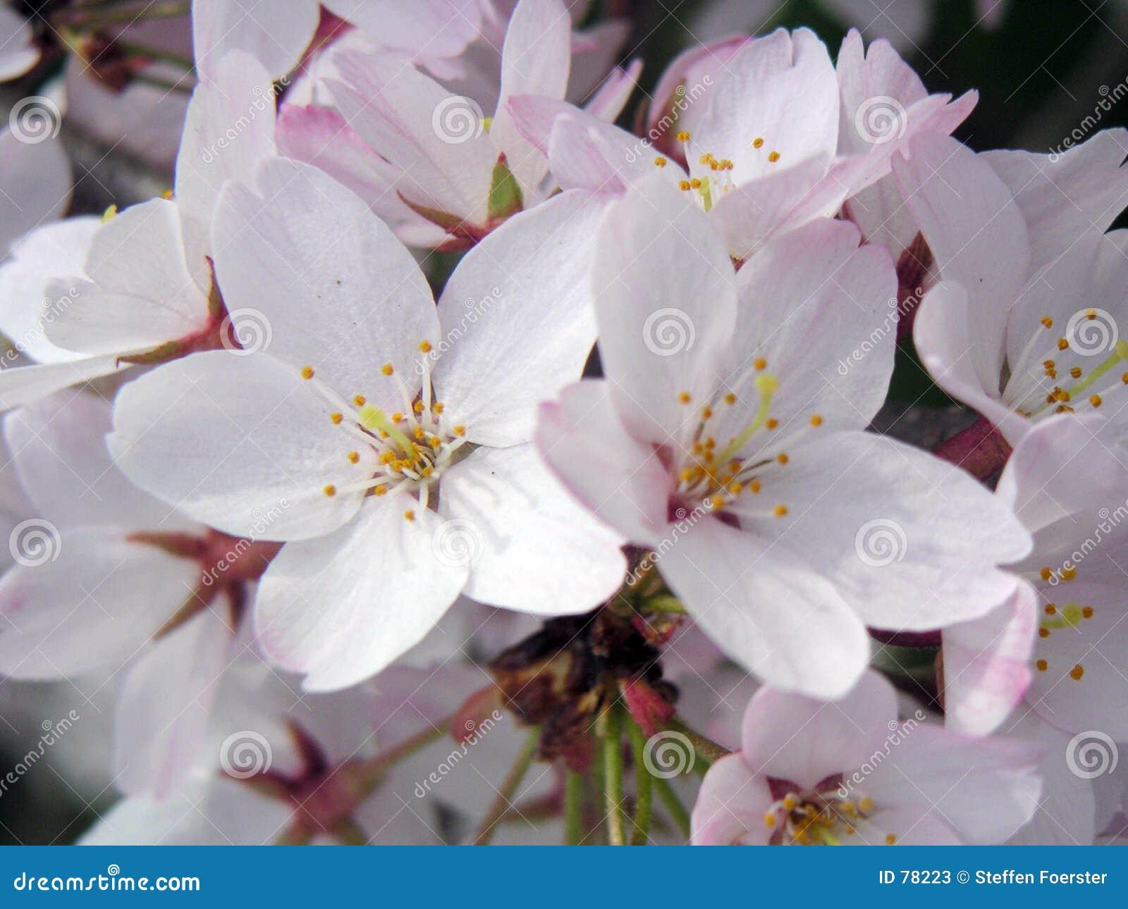 Фото вишня цветет