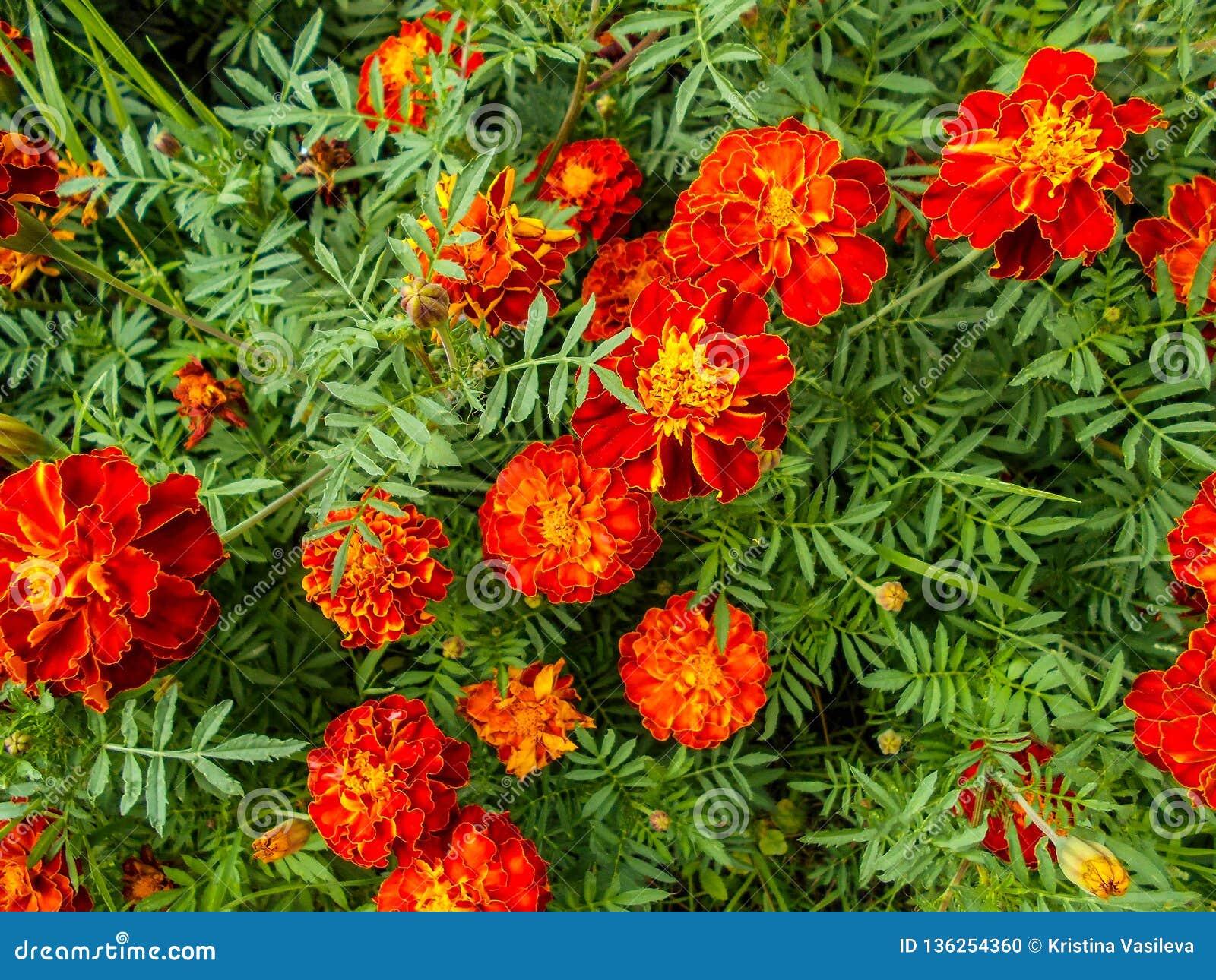 Цветки в саде Цветки Tagetes в саде