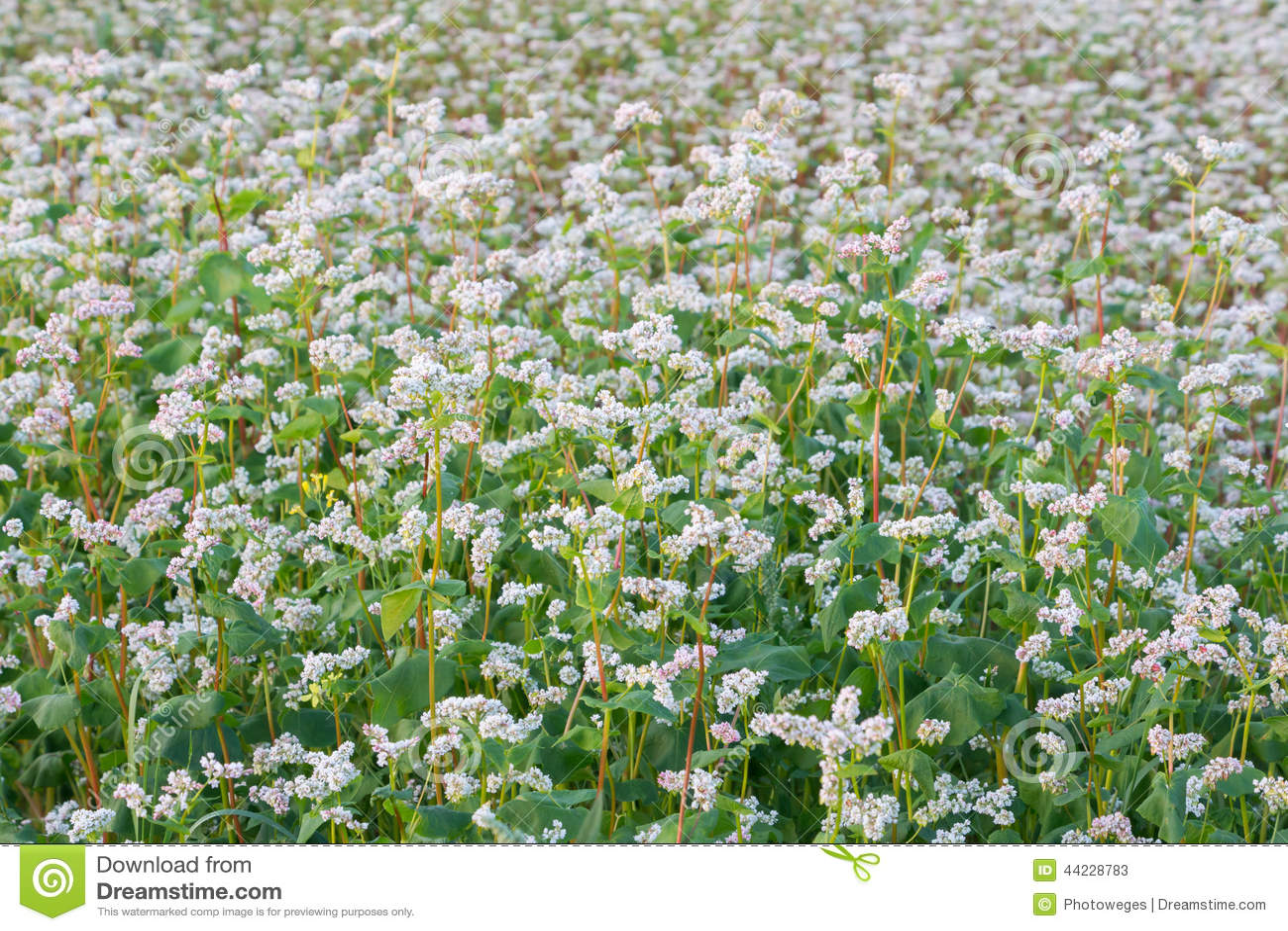 Гречихи цветки
