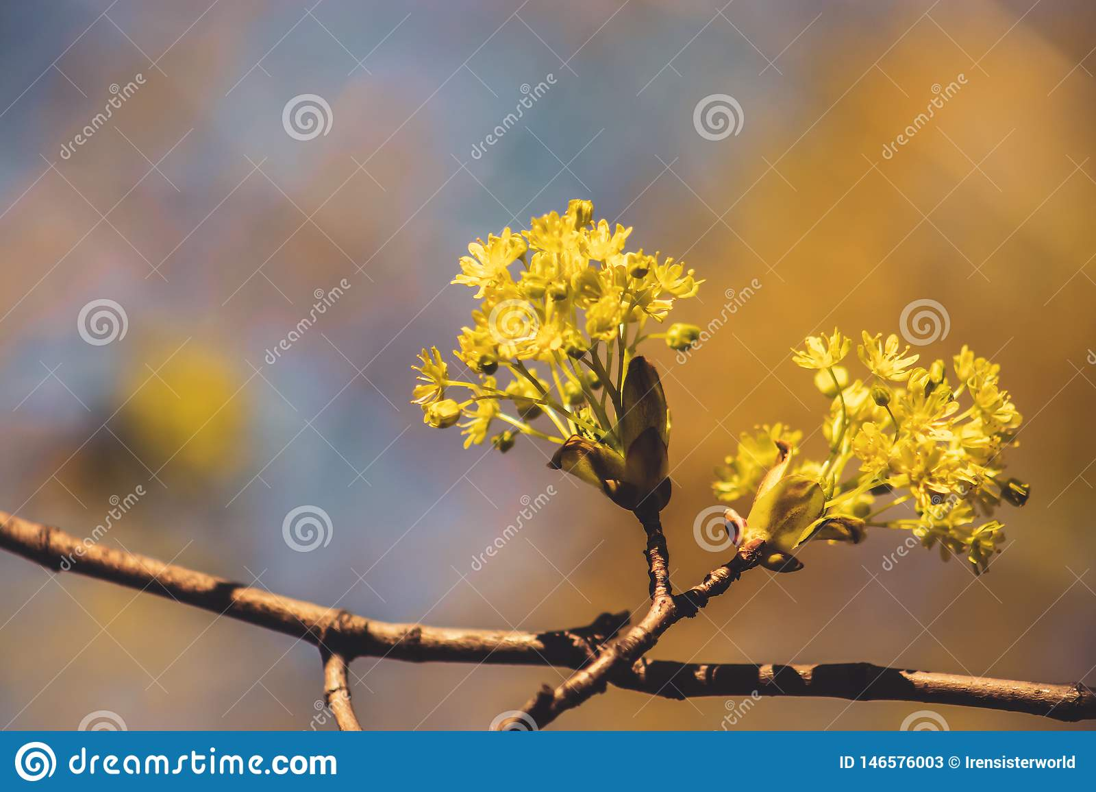 Цветки дерева клена желтые