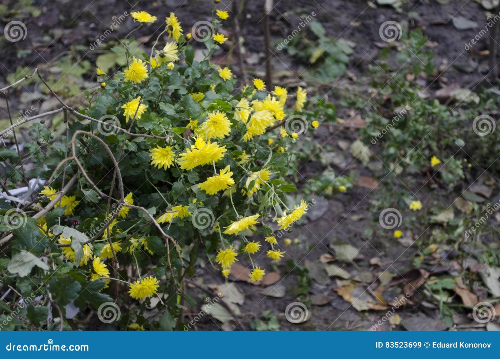 Цветки зимы желтые