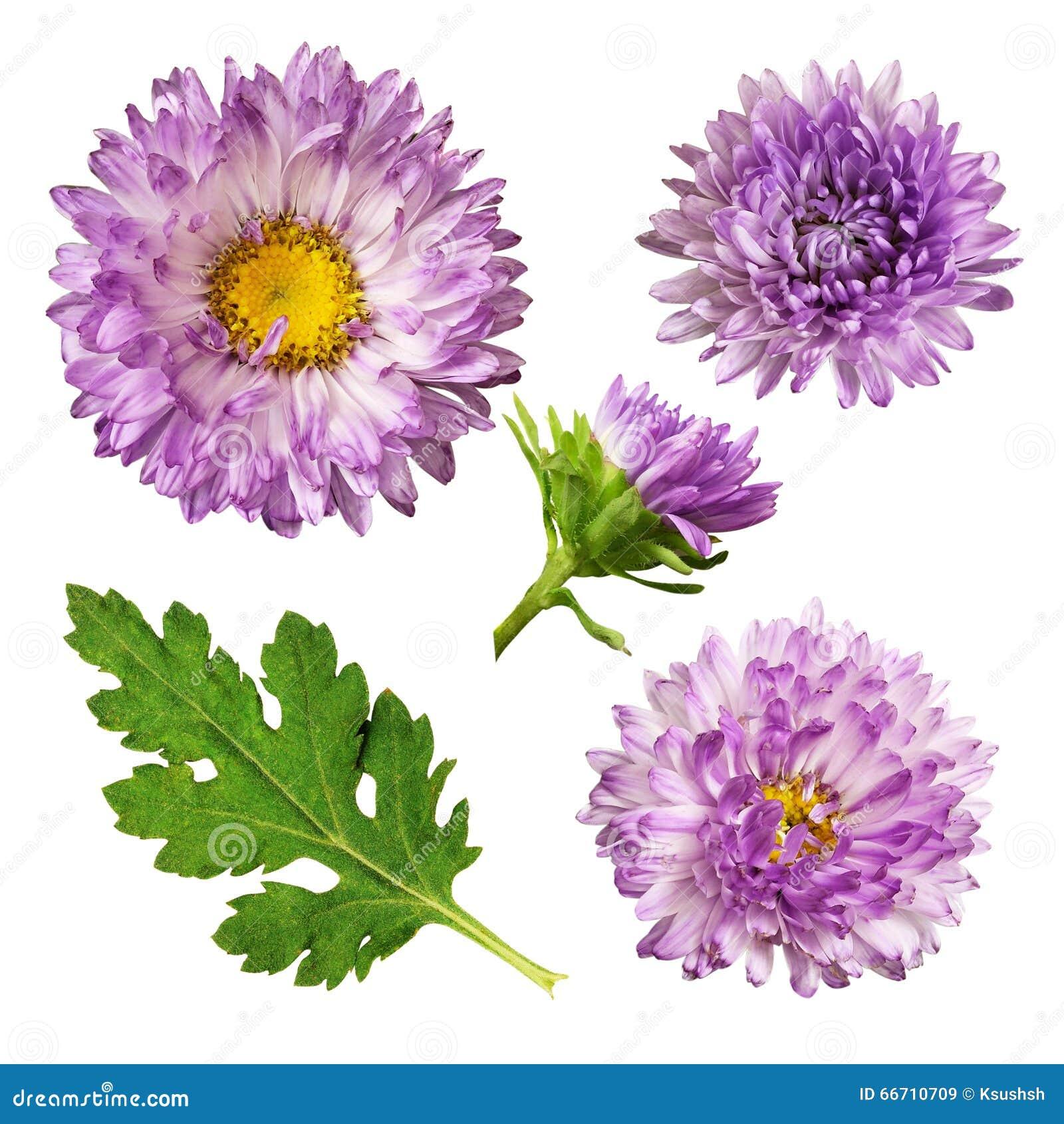Маргаритки цветов и уход 2