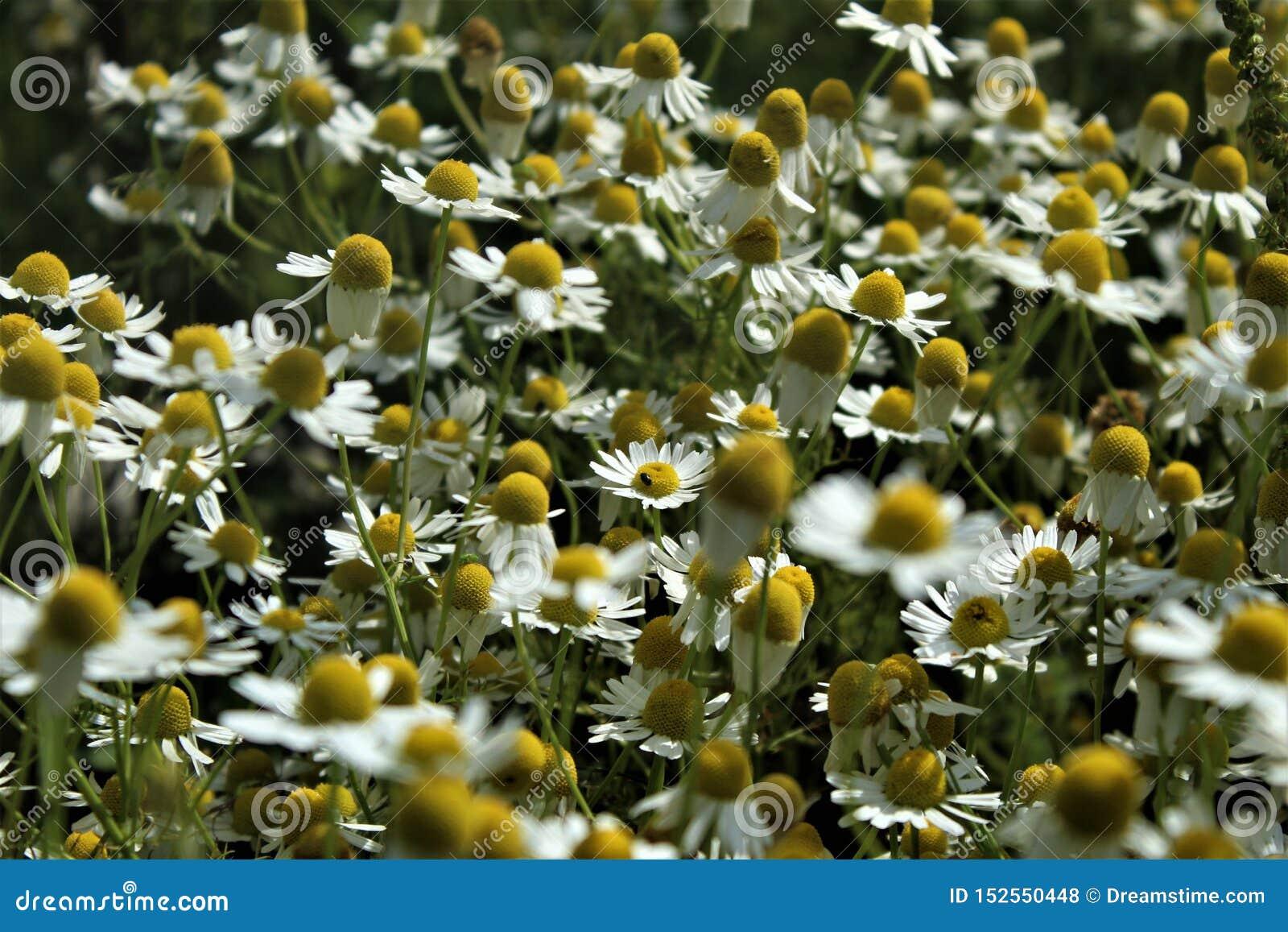 Цветки и травы стоцвета цветут красиво