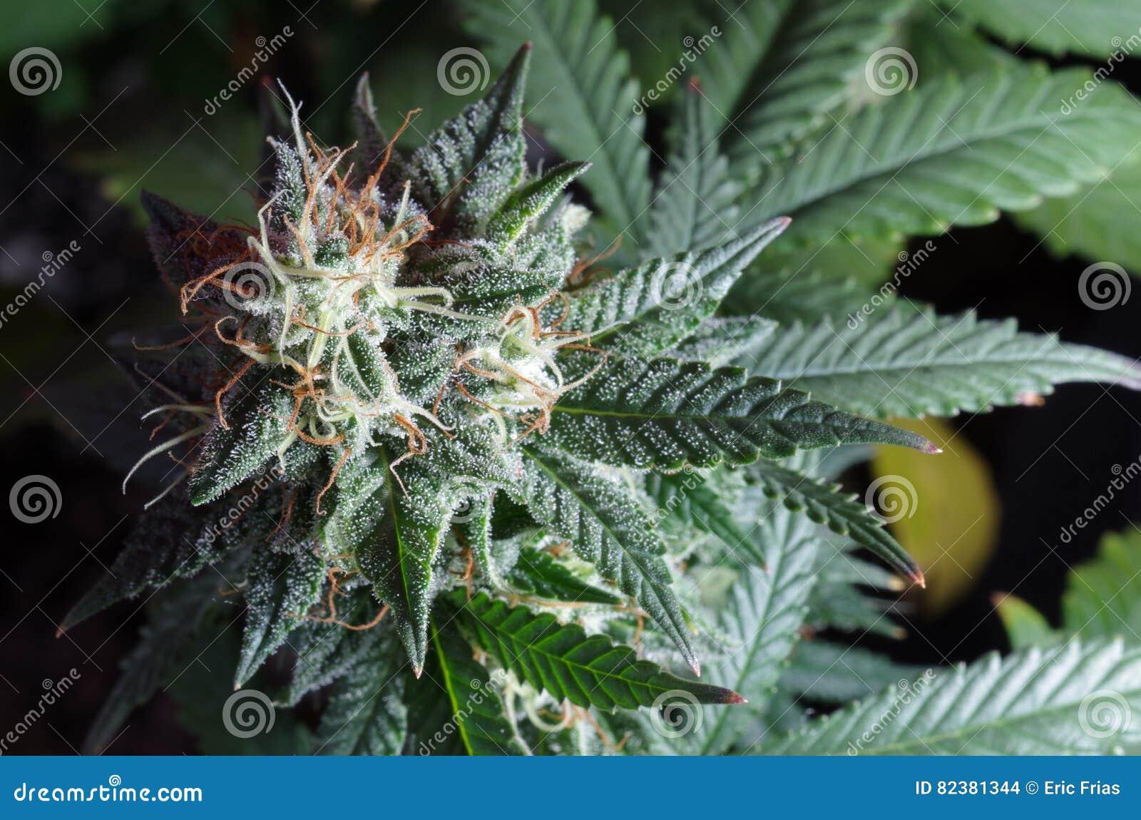 Как цветет конопля за какое количество марихуаны уголовная ответственность