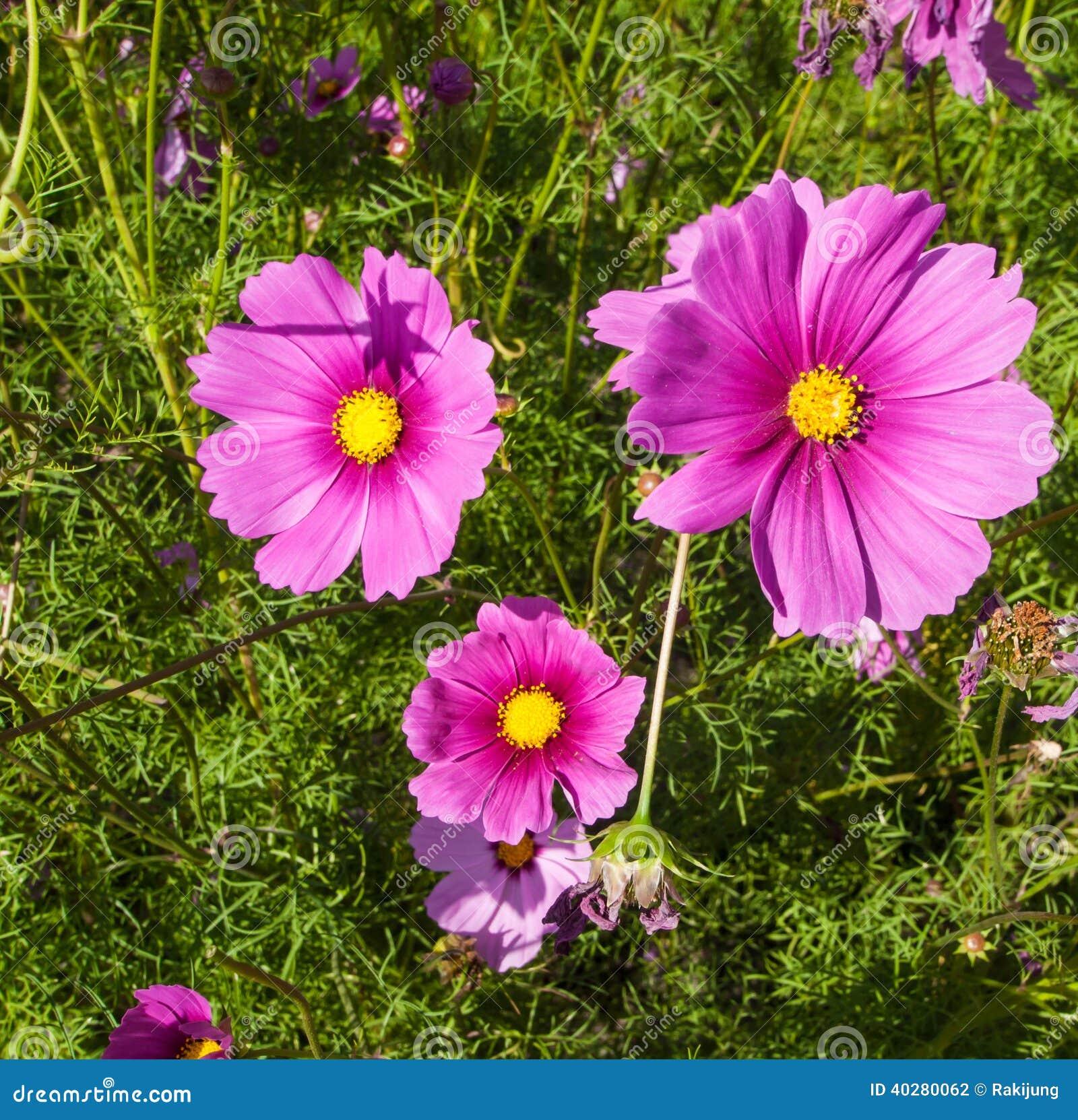 Цветки космоса в зацветать с заходом солнца