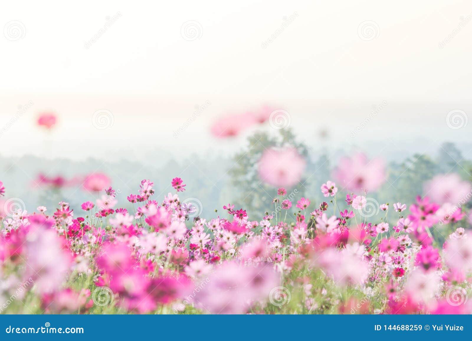 Розовое поле цветков космоса