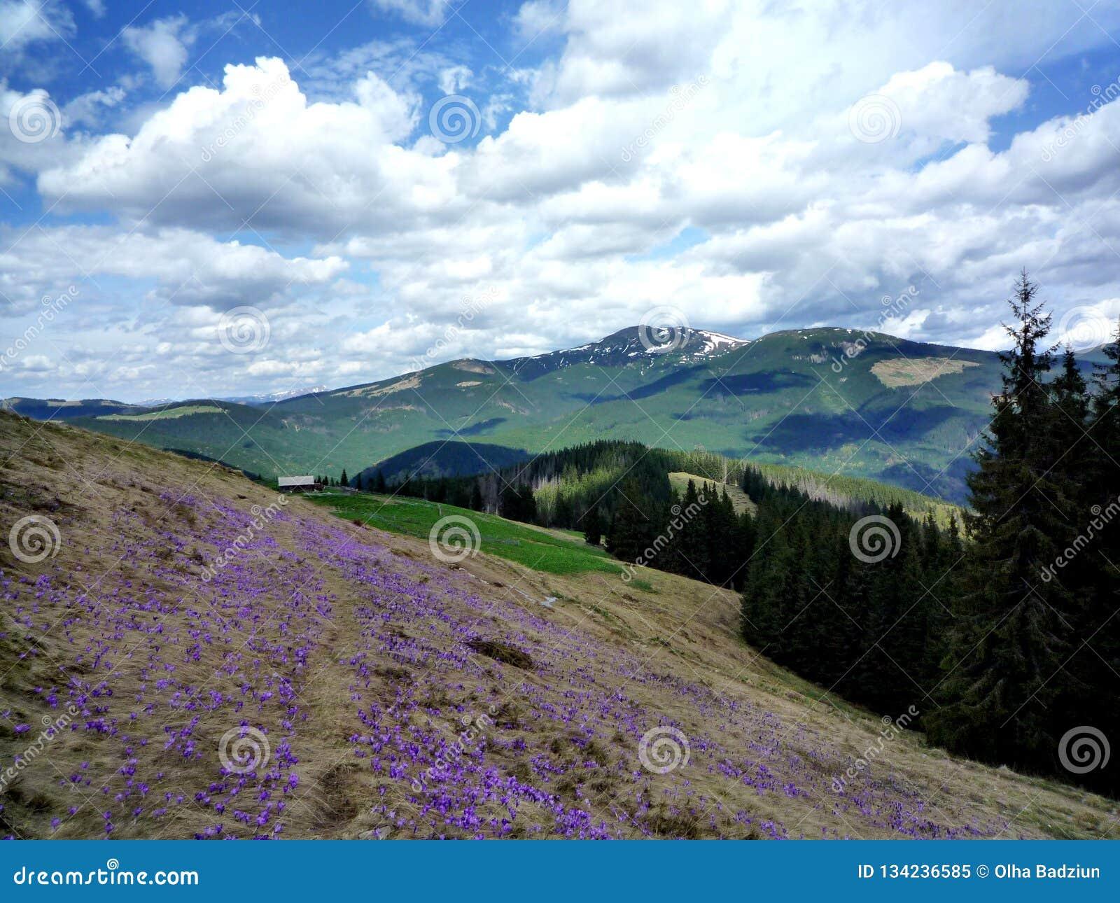 Цветки крокуса весны в прикарпатских горах
