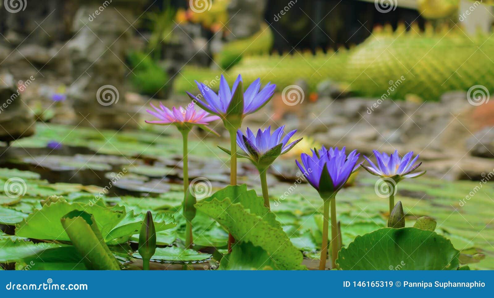 Цветки лотоса зацветают в бассейне