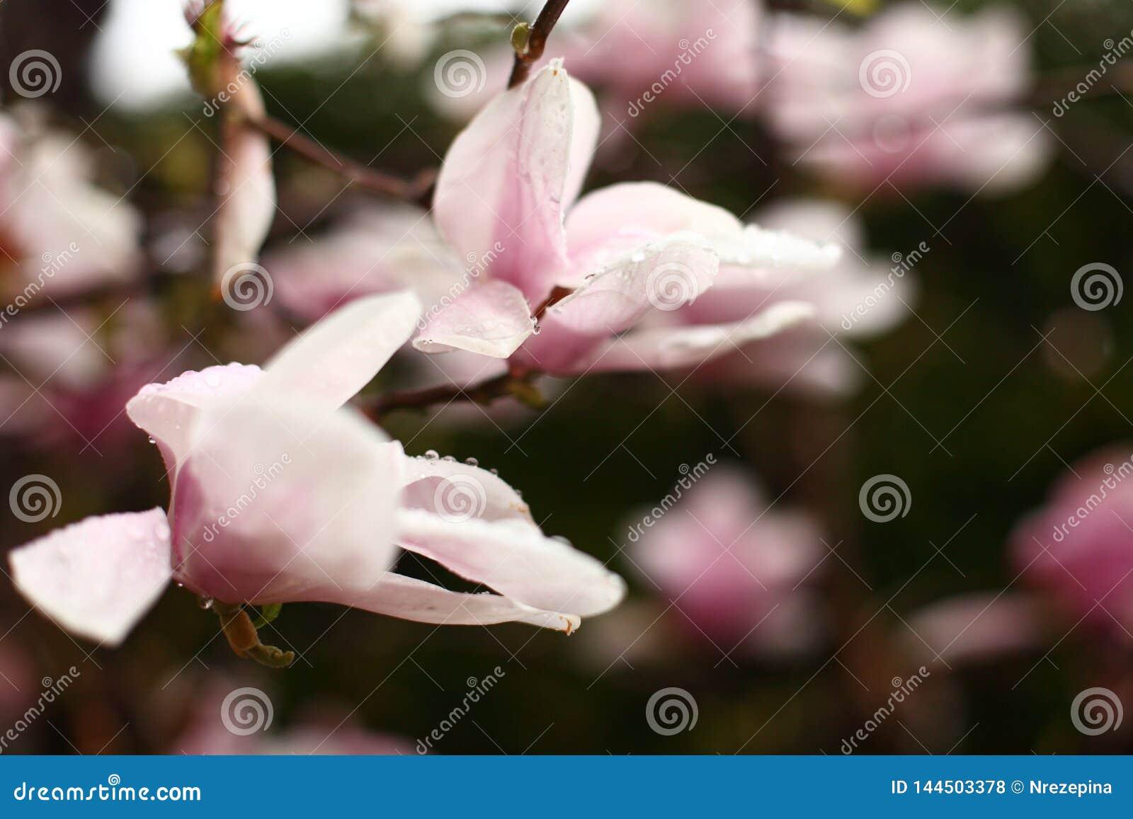 Цветки магнолии на ветви в предыдущей весне