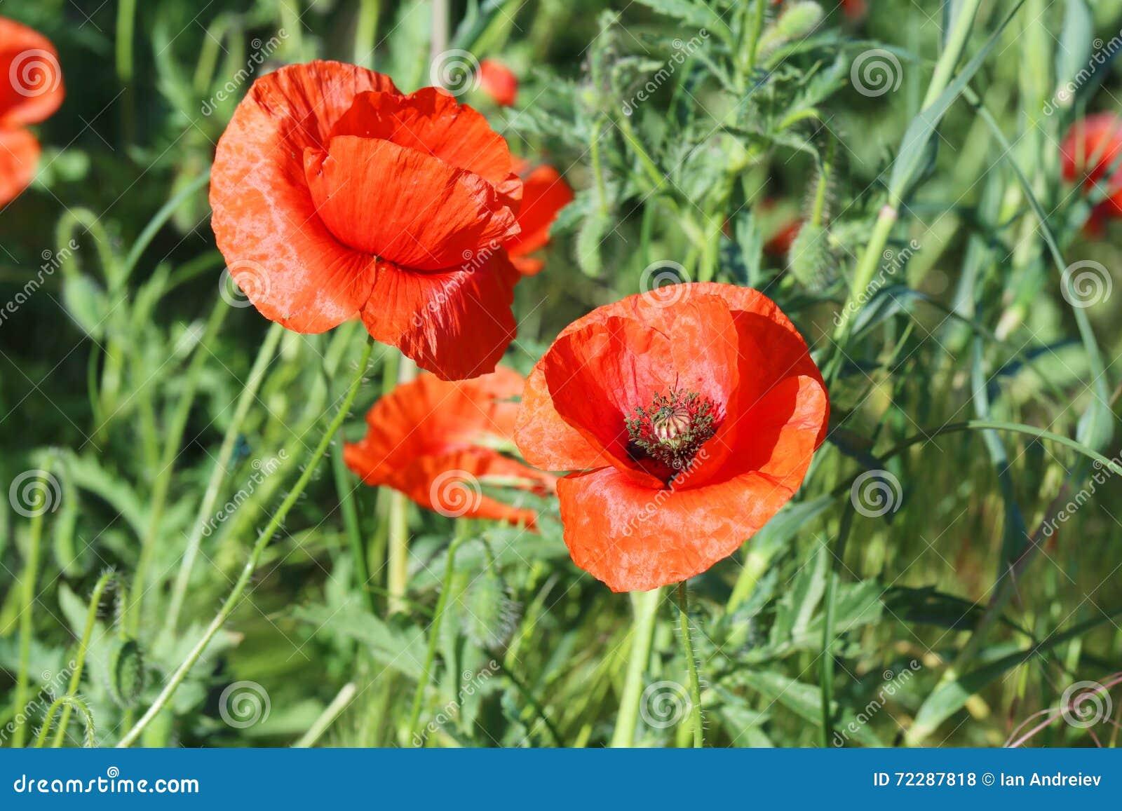 Download Цветки мака стоковое фото. изображение насчитывающей цветок - 72287818