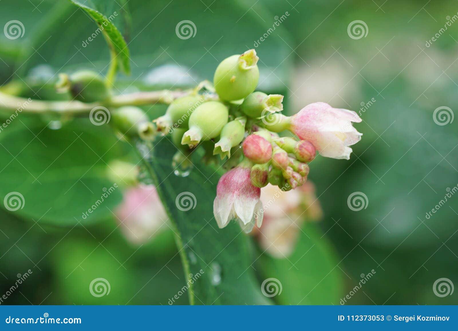 Цветки макроса зацветая белого и розового Symphoricarpos snobber