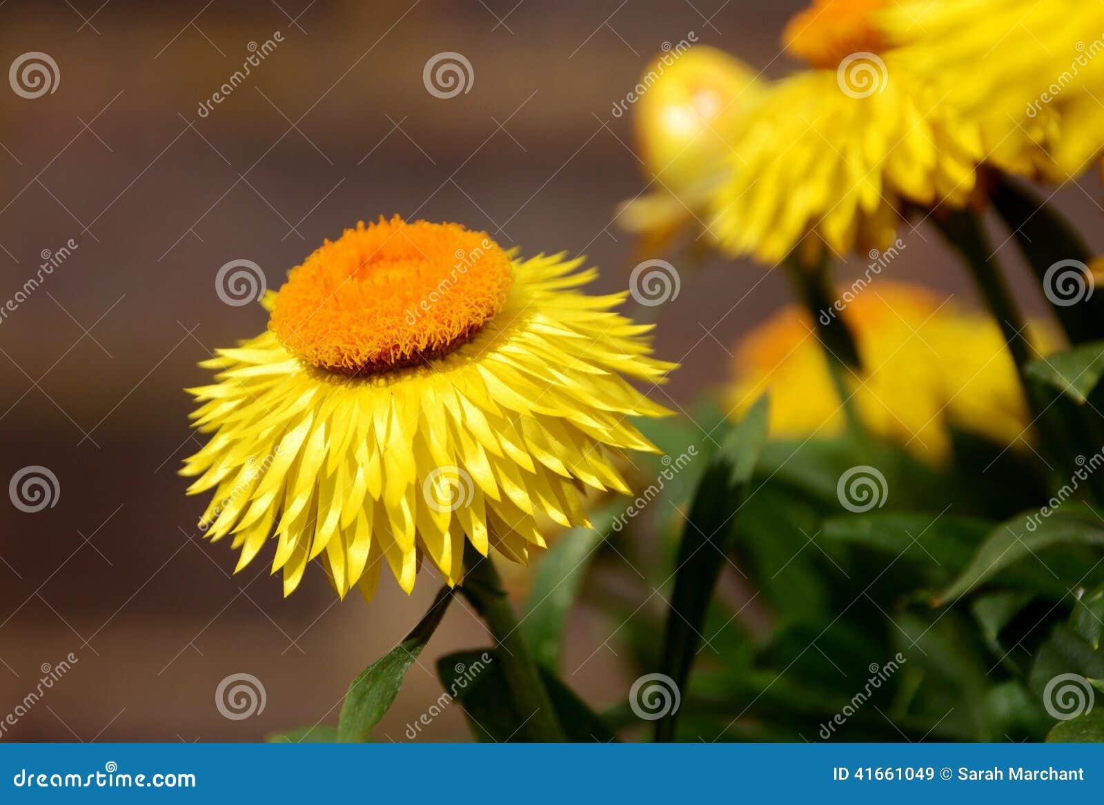 Цветки маргаритки желтой бумаги