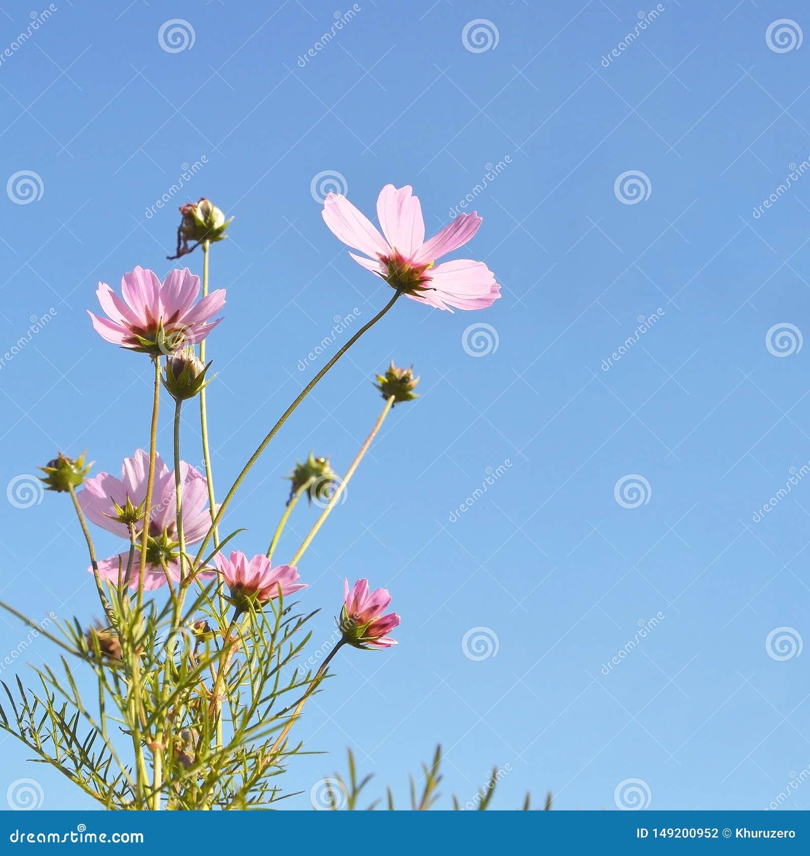 цветки маргаритки