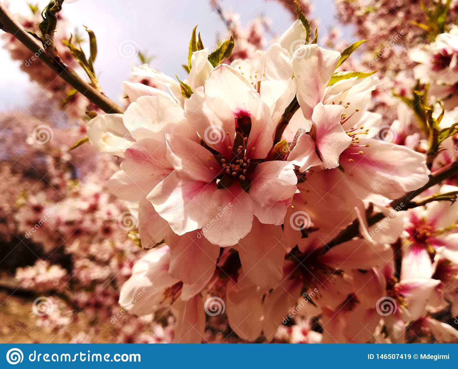 Цветки миндалины в острове Akdamar