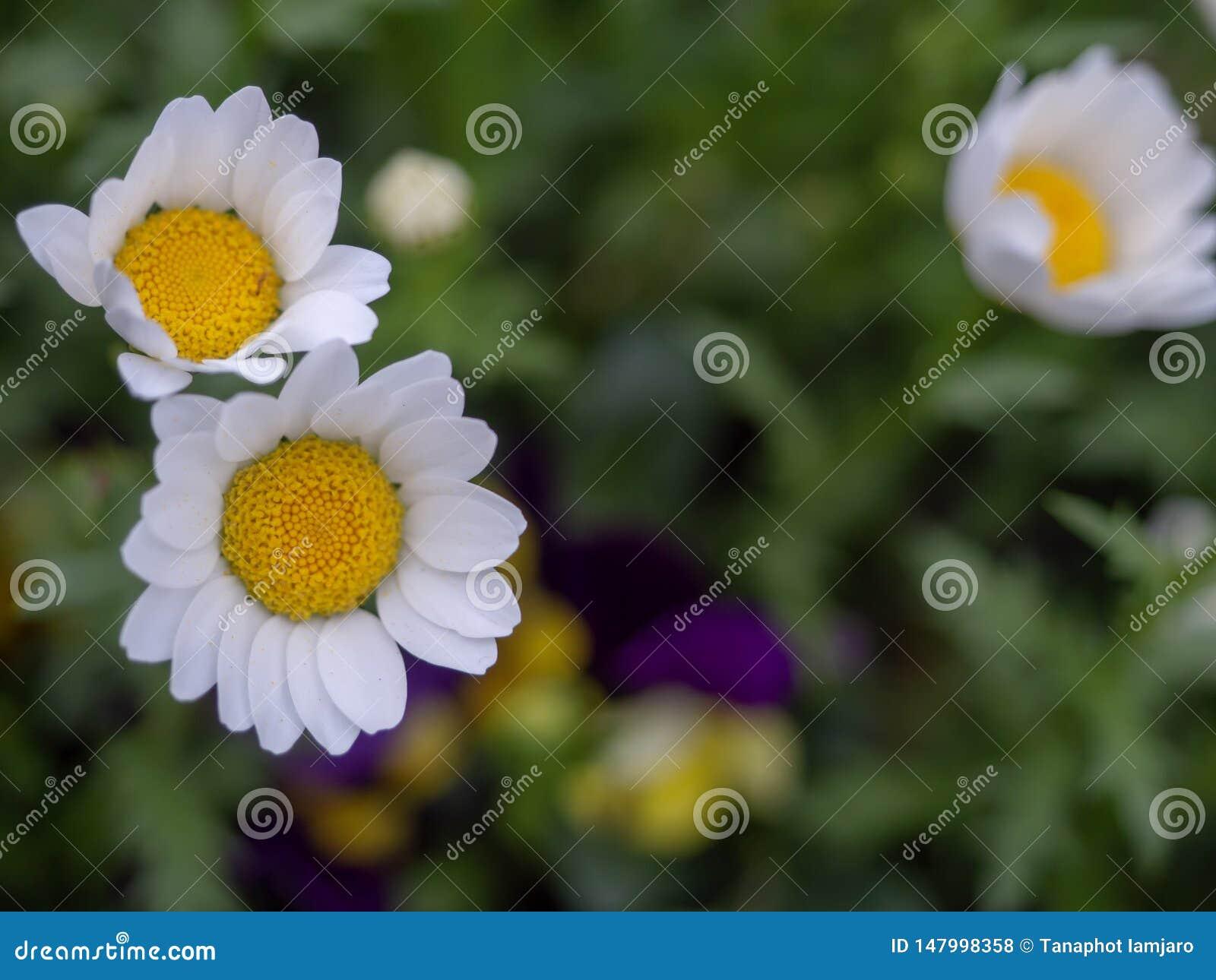 цветки Мини-маргаритки, белые лепестки, красивые желтые тычинки, растут на полях зеленой травы