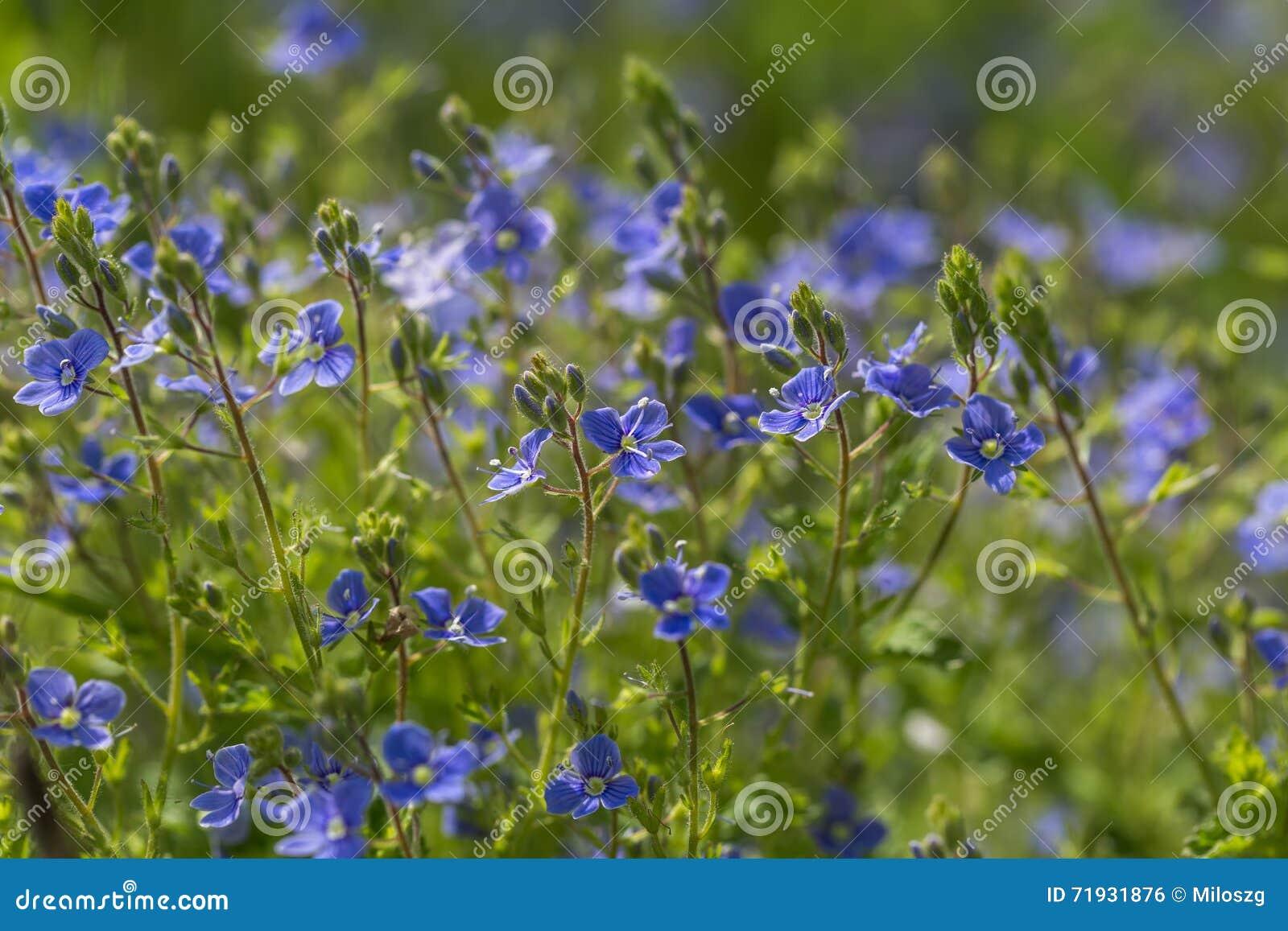 Цветки незабудок в конце вверх