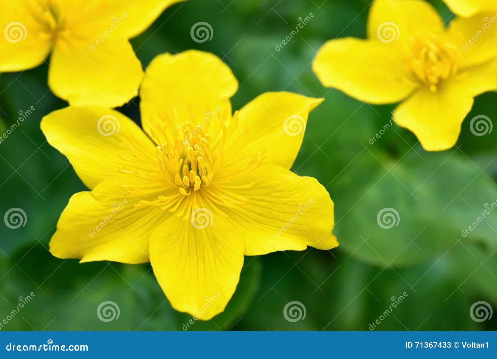 Цветки ноготк болота, конец вверх по взгляду