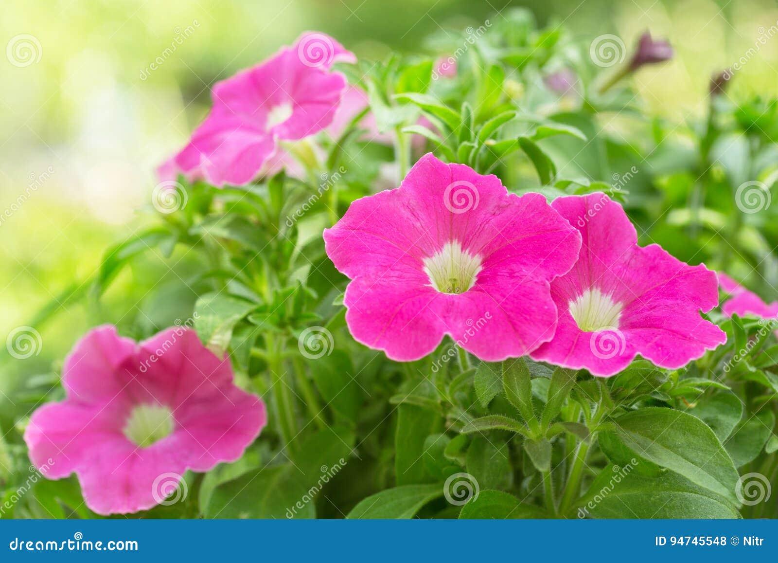 Цветки петуньи в саде