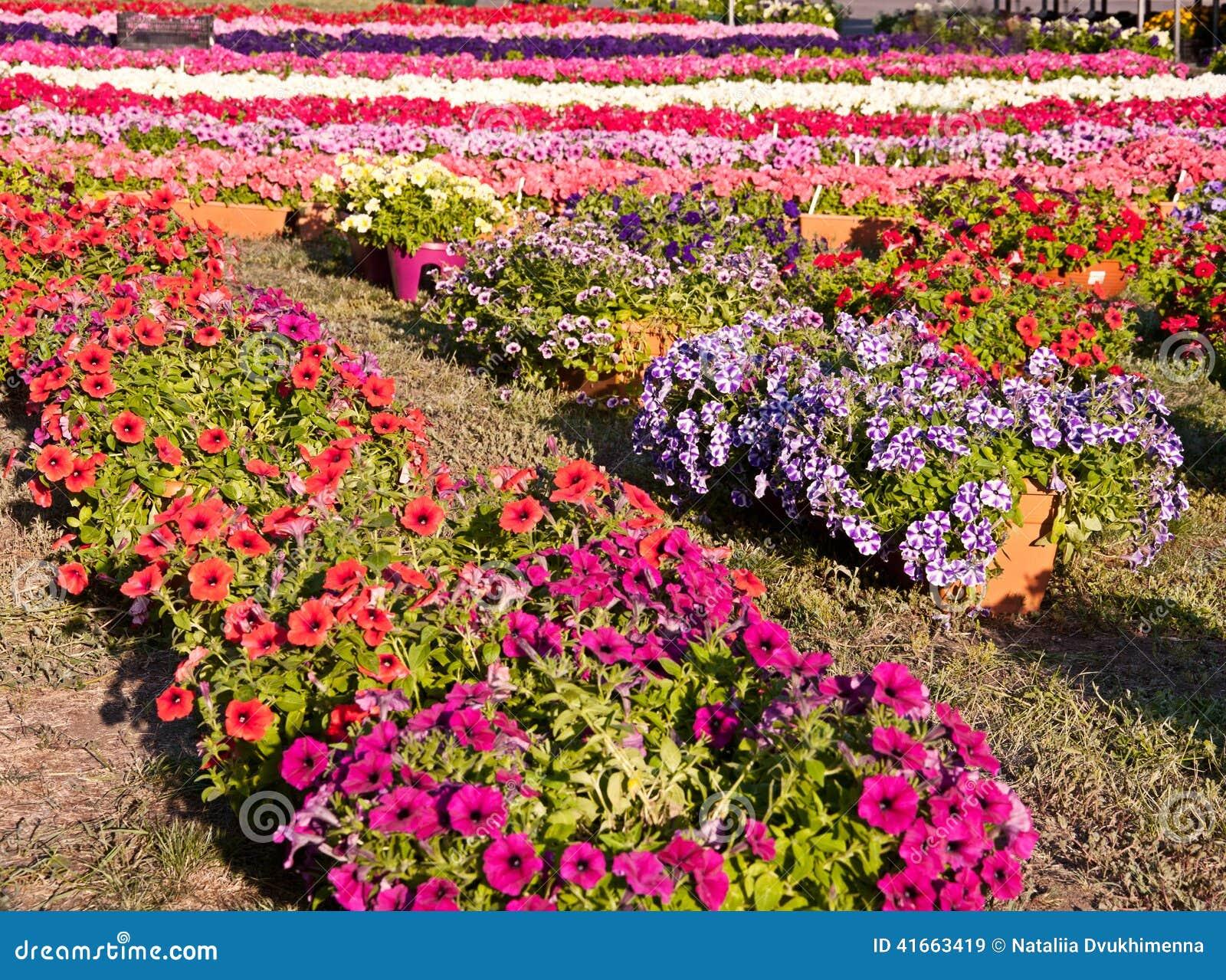 Цветки петуньи