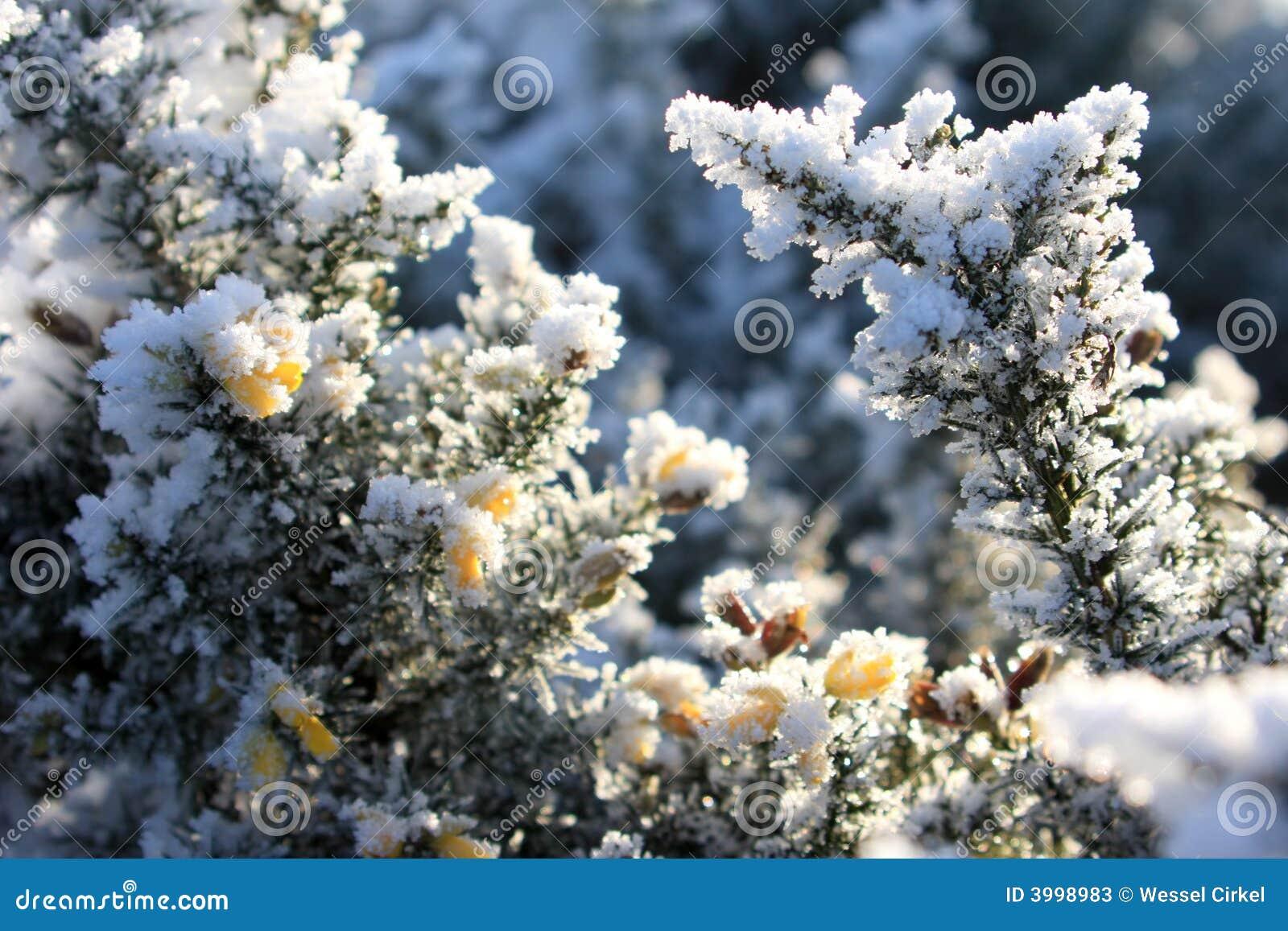 цветки покрытые веником имеют hoarfrost