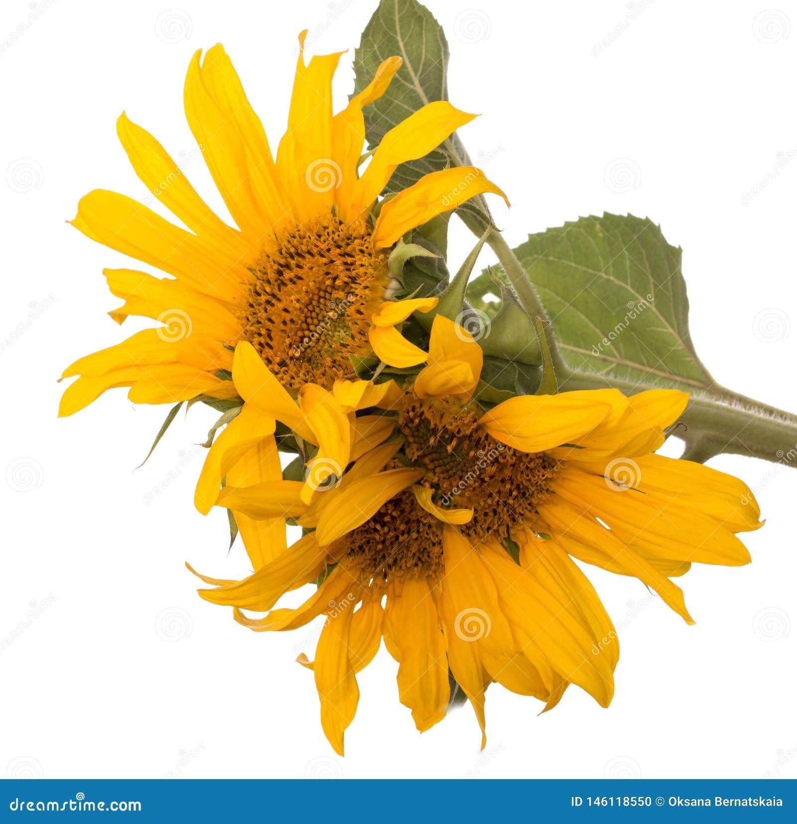 Цветки солнцецвета на белой предпосылке