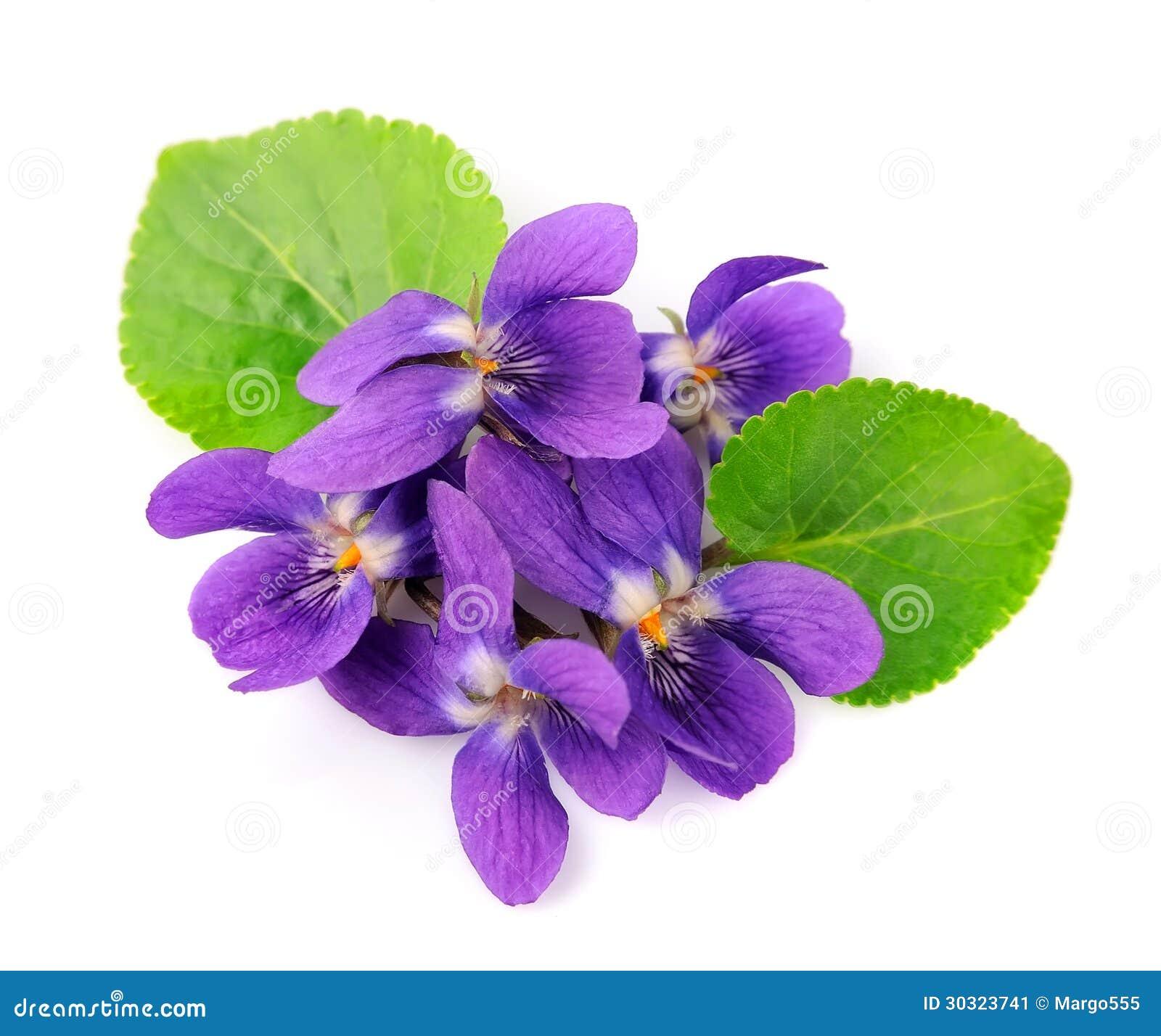 Цветки фиолетов