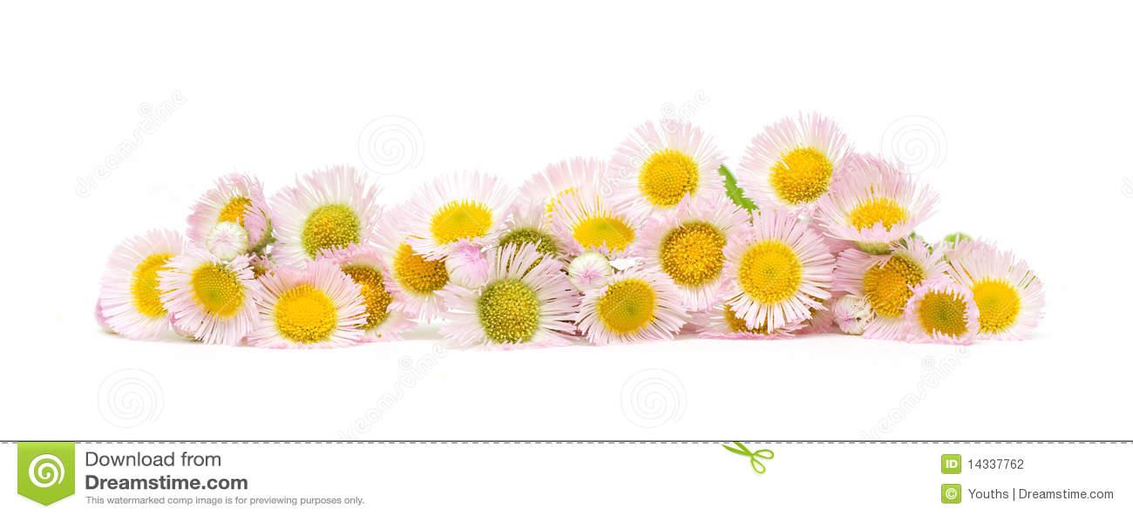 цветки хризантемы