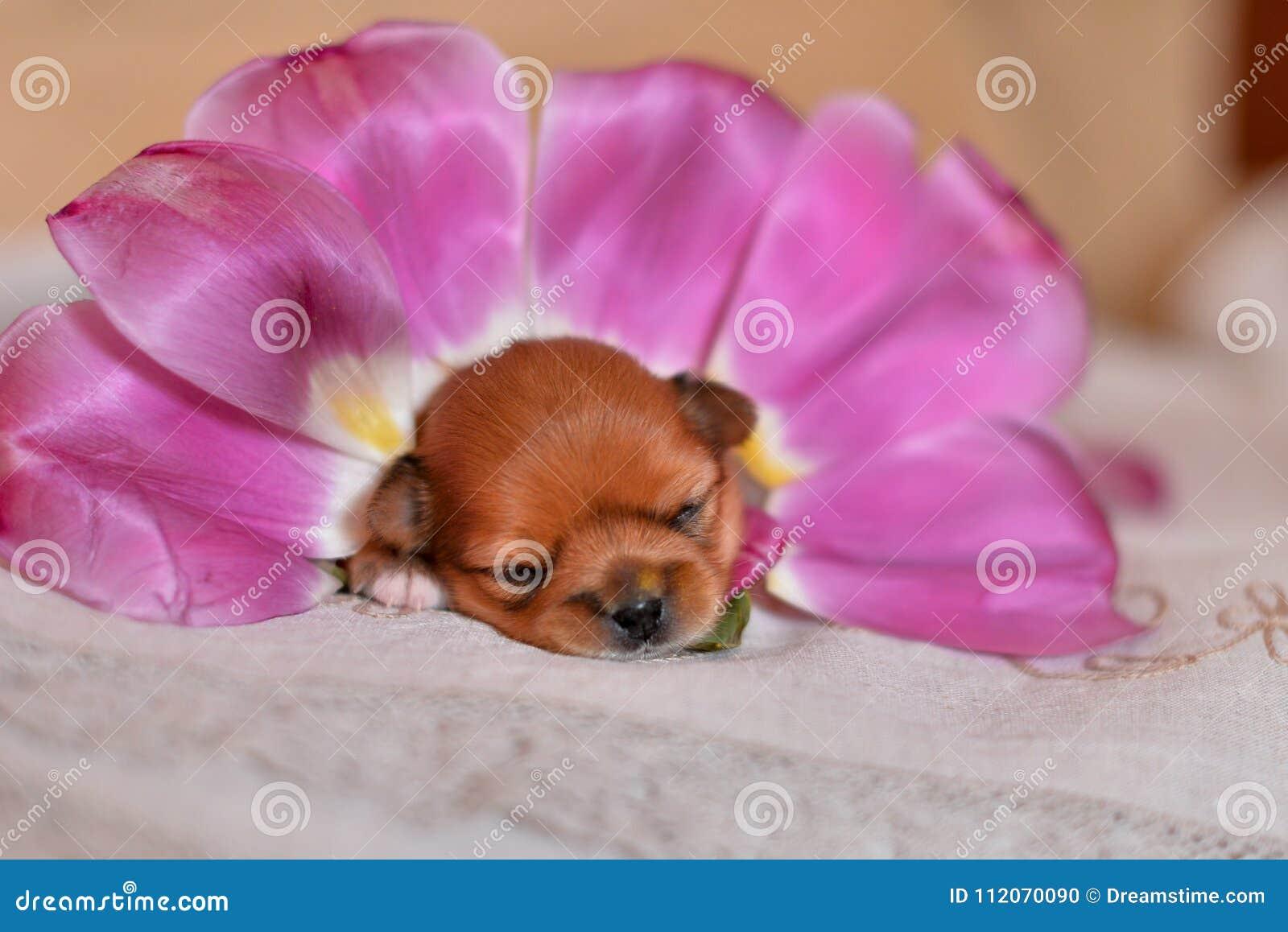 Цветки щенка