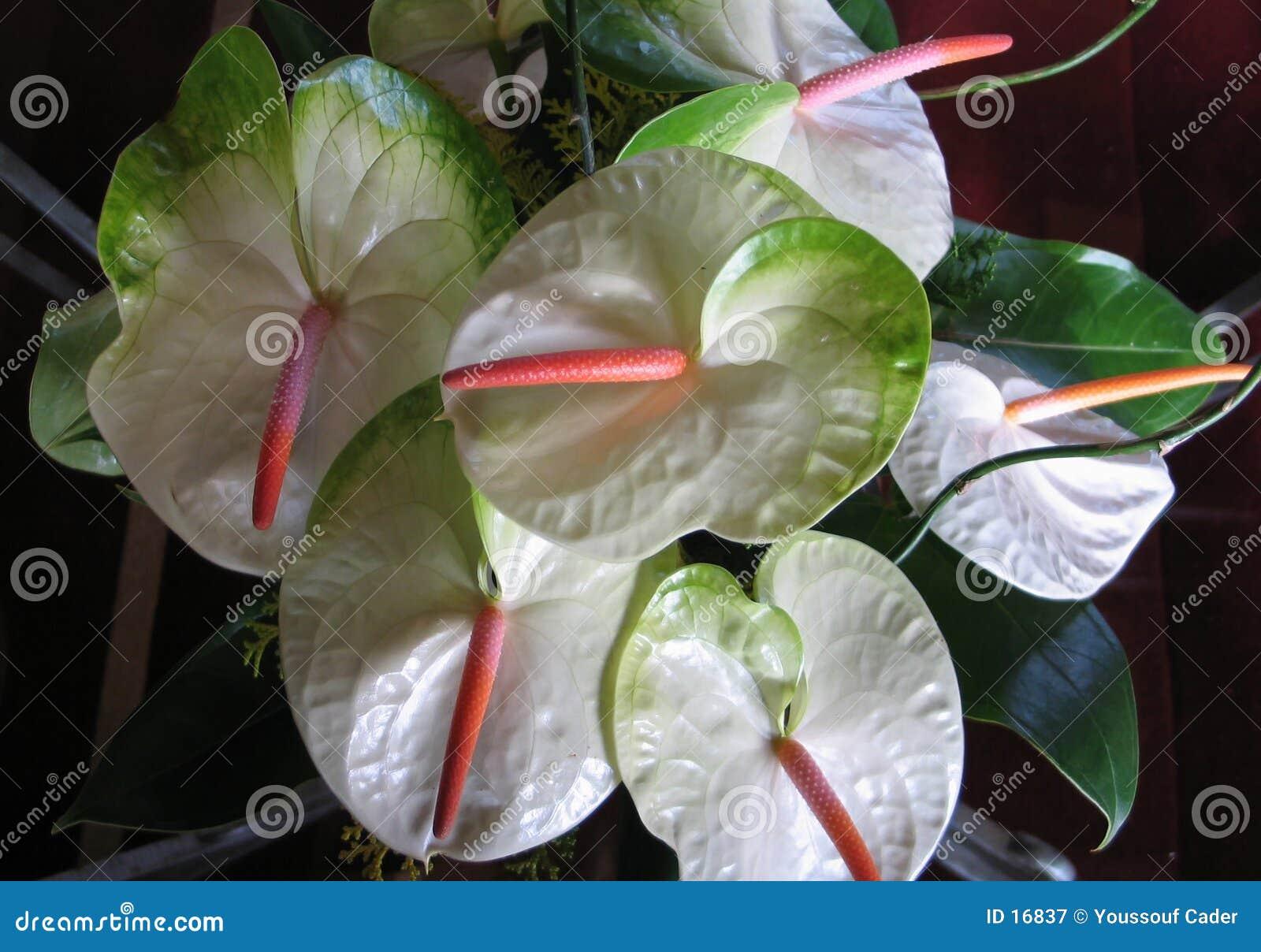 цветки 1 антуриума