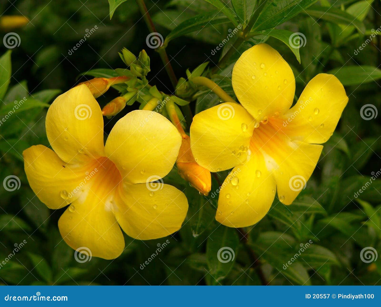 цветки alamanda