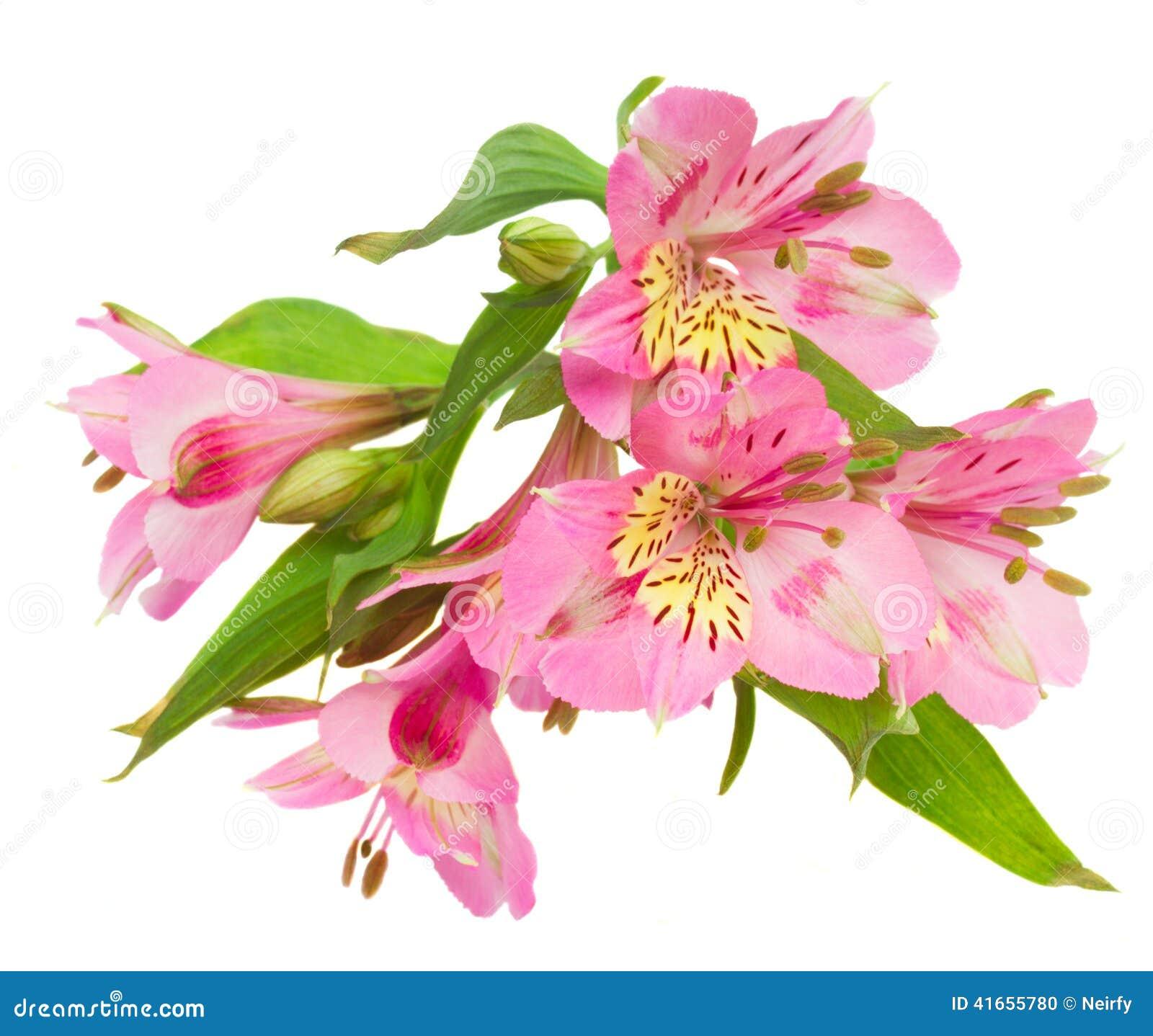 Цветки Alstroemeria