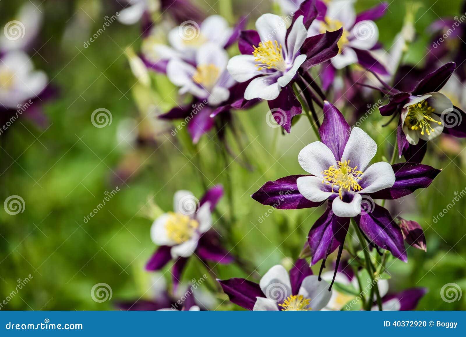 Цветки Aquilegia