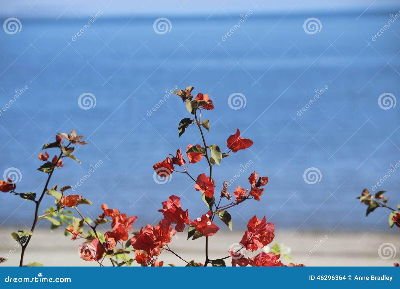 Цветки Bouganvillea