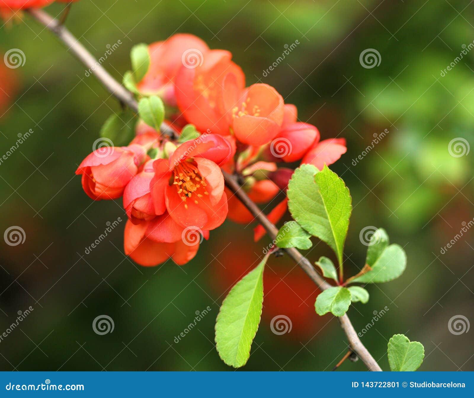 Цветки Chaenomeles на ветви